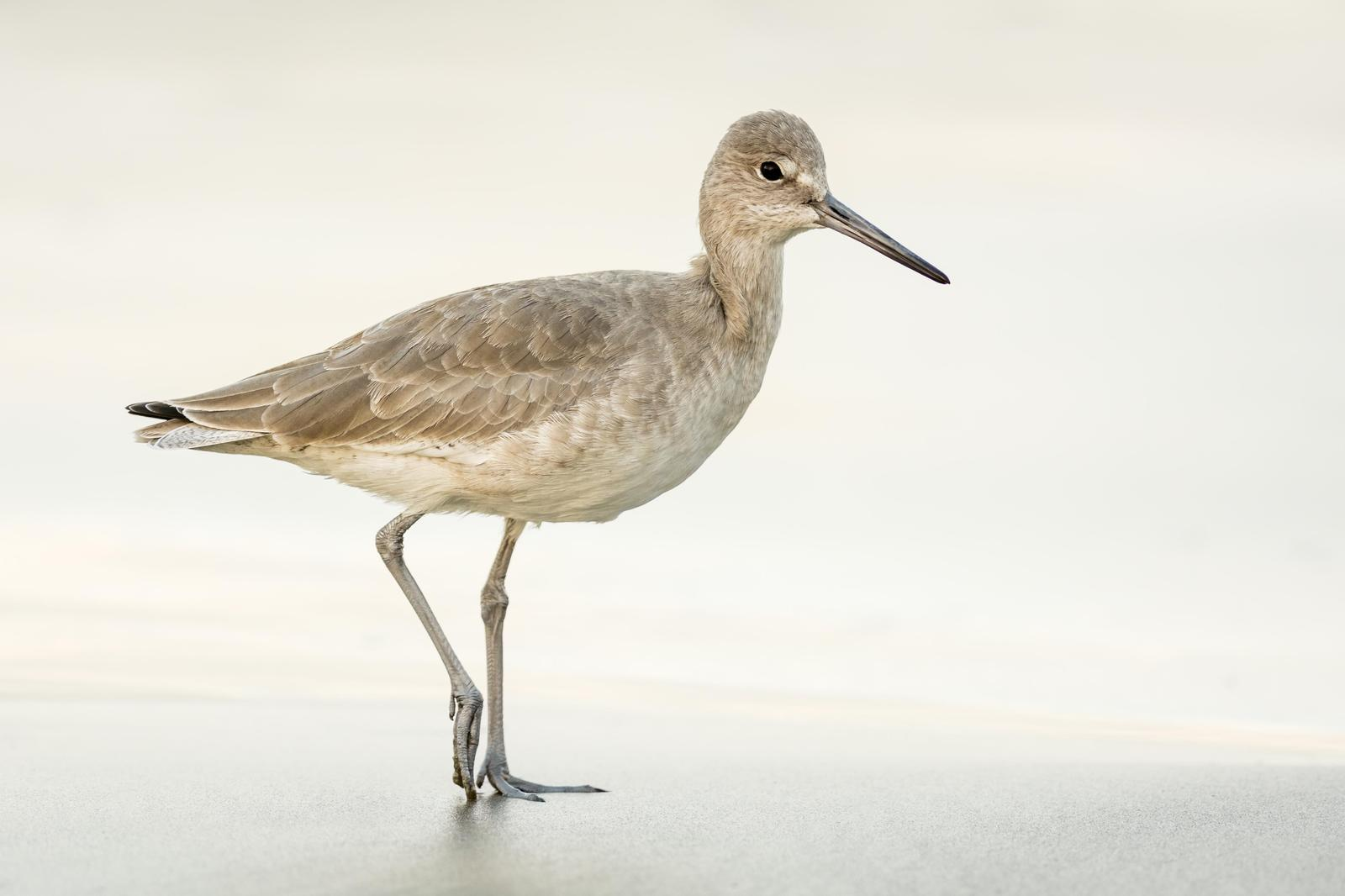 Willet Photo by Jesse Hodges