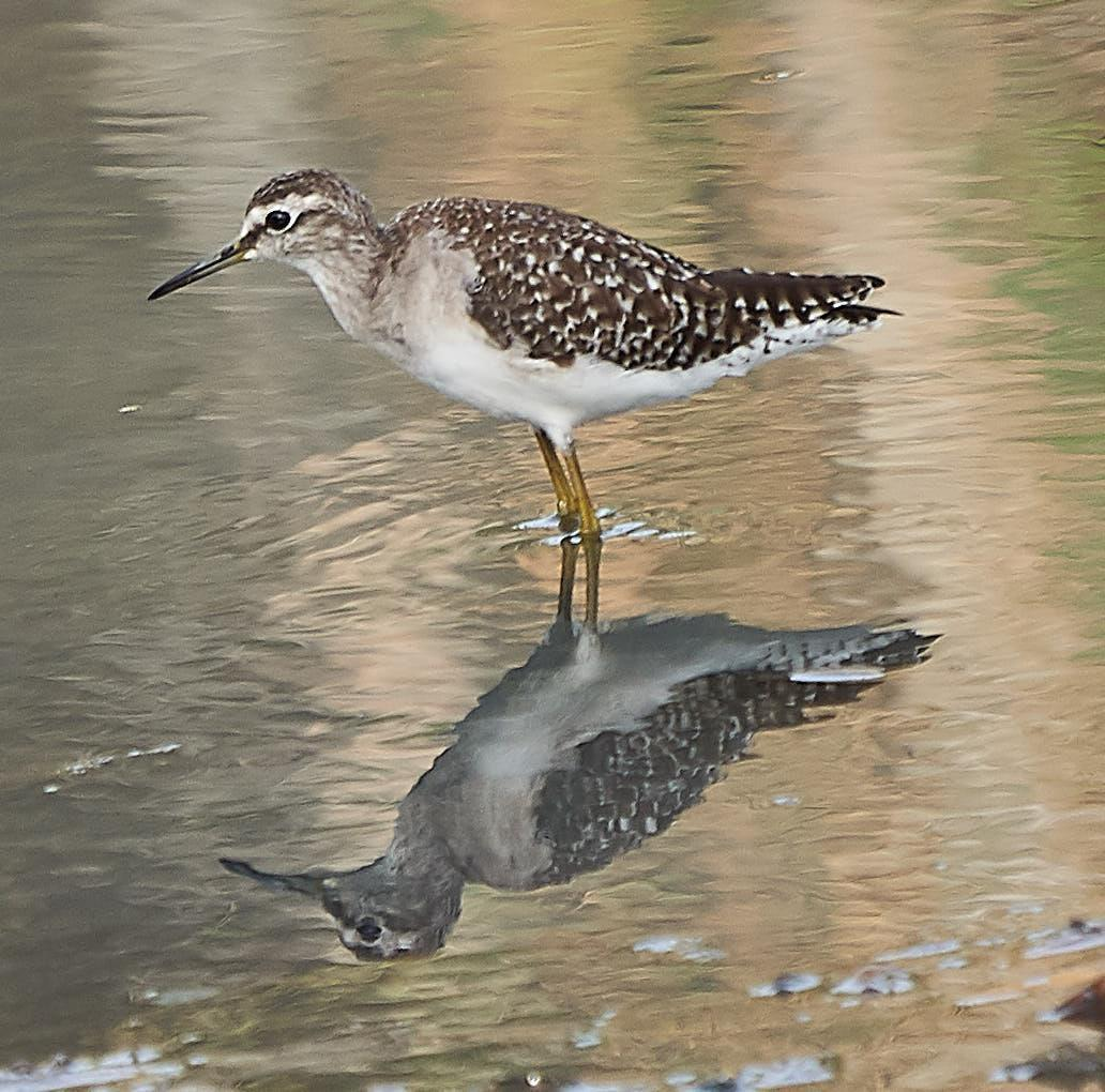Wood Sandpiper Photo by Steven Cheong