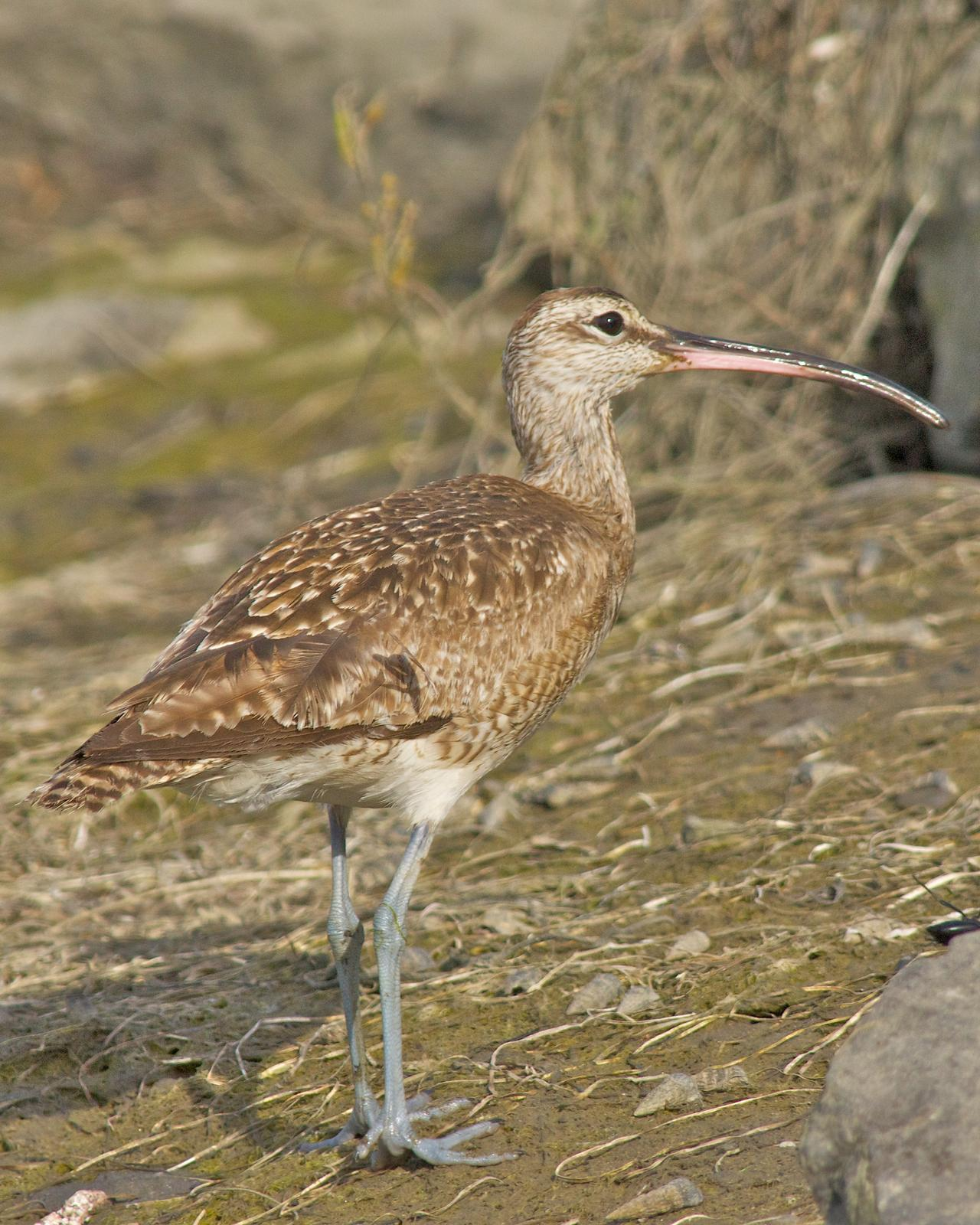 Whimbrel Photo by Gerald Hoekstra