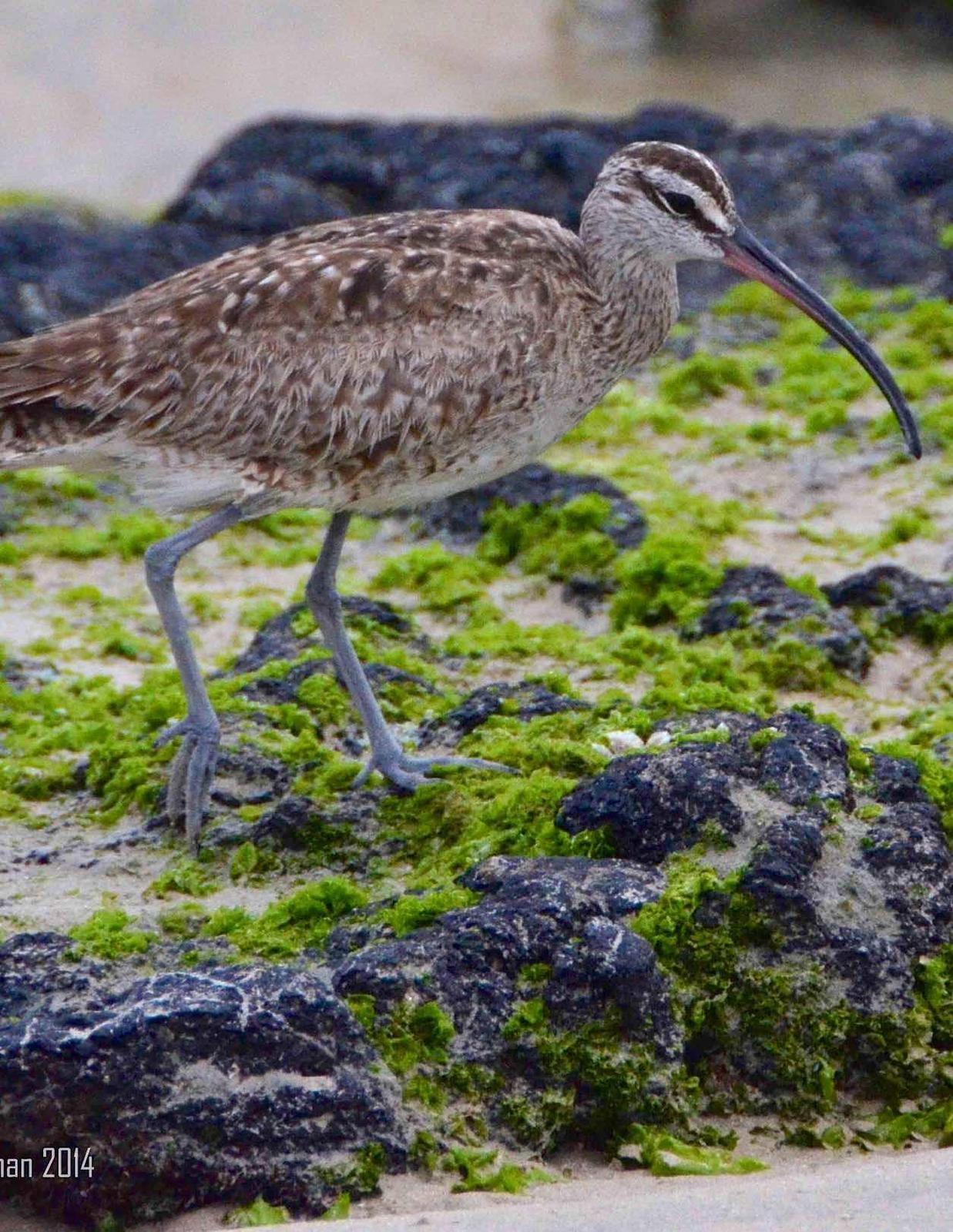 Whimbrel Photo by Andrew Pittman