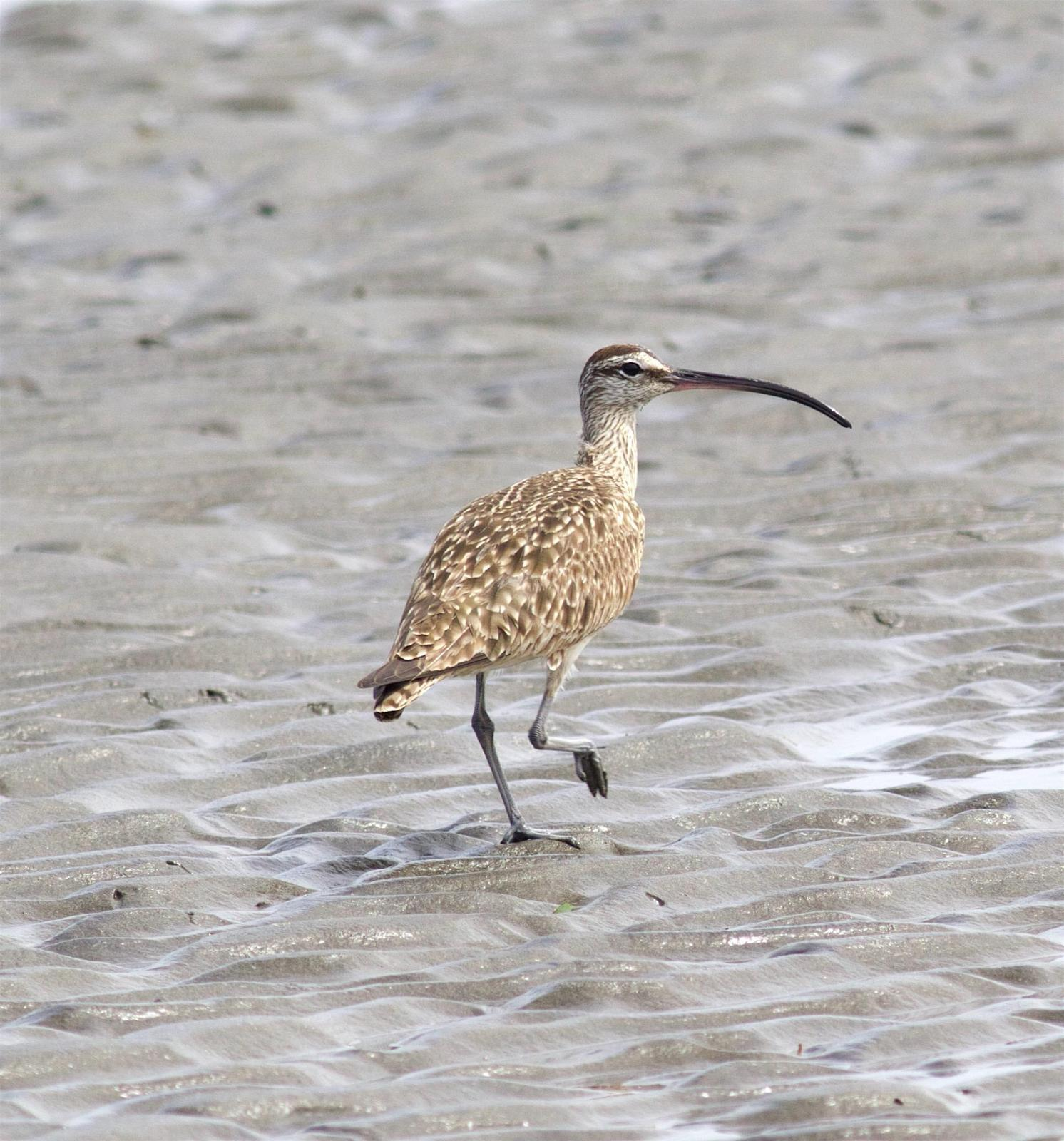 Whimbrel Photo by Kathryn Keith