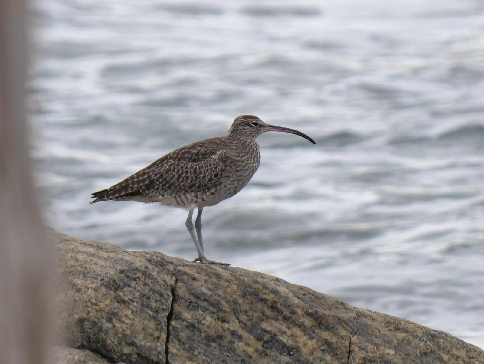 Whimbrel Photo by Peter Lowe