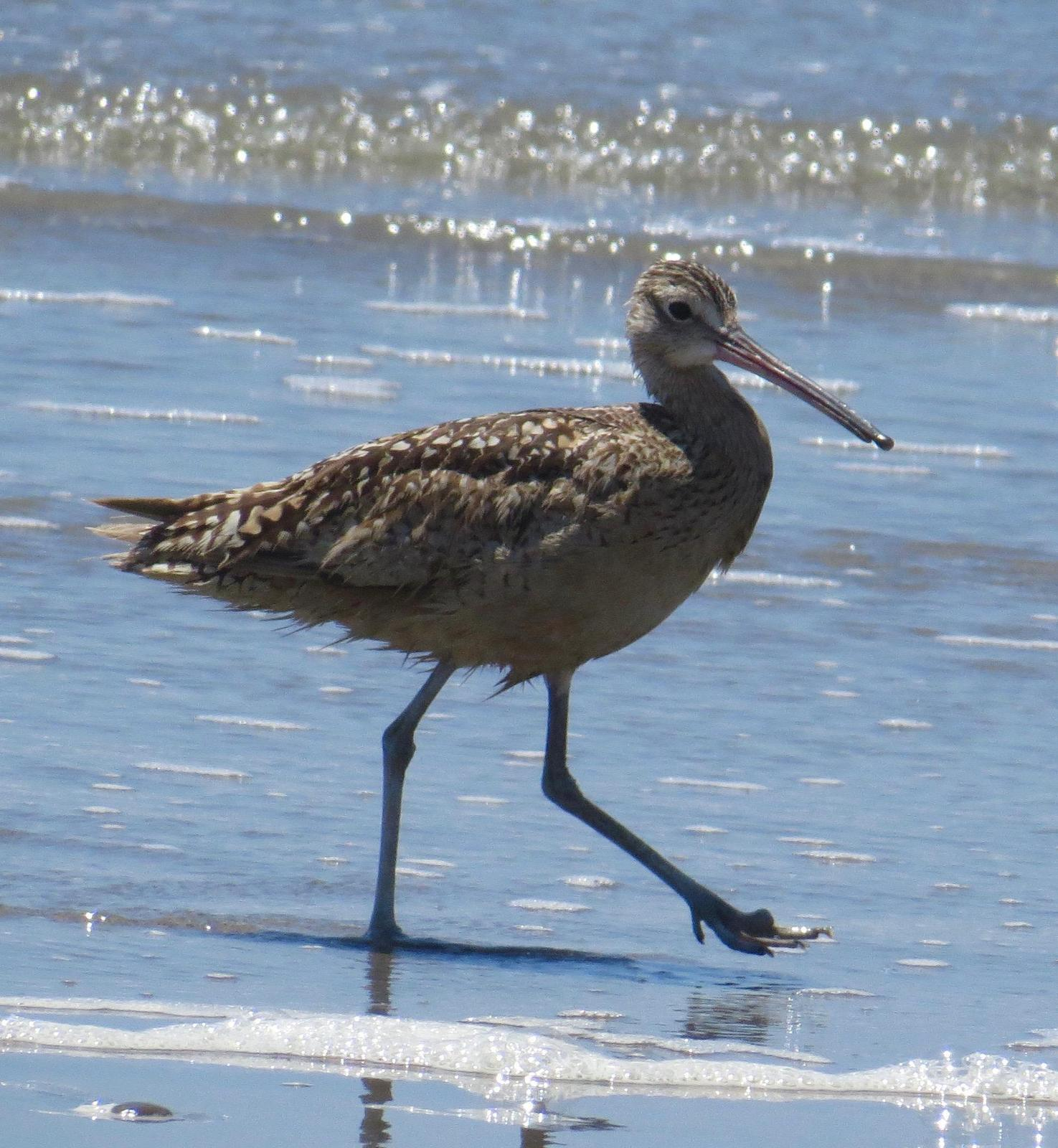 Long-billed Curlew Photo by Don Glasco