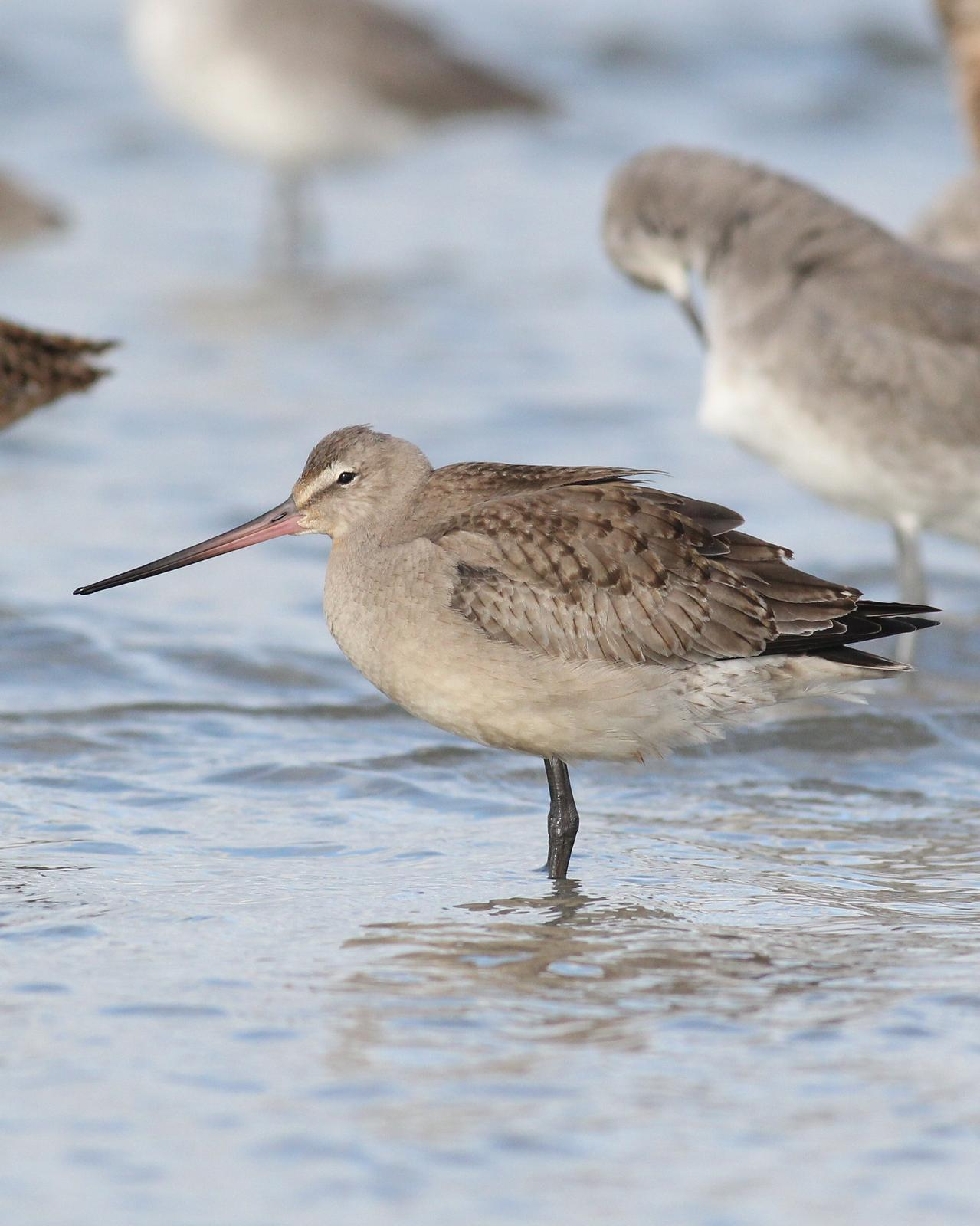 Hudsonian Godwit Photo by Alex Lamoreaux