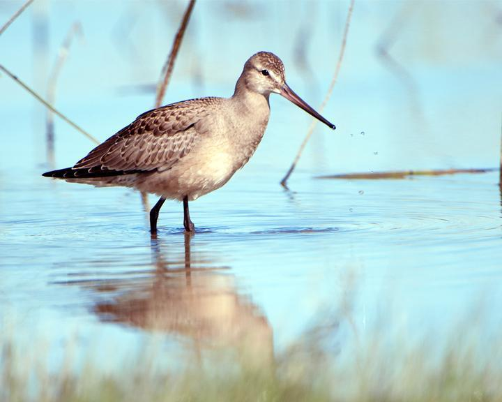 Hudsonian Godwit Photo by Jean-Pierre LaBrèche