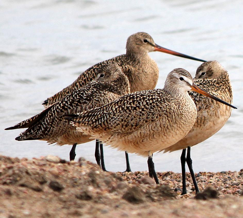 Marbled Godwit Photo by Tom Gannon