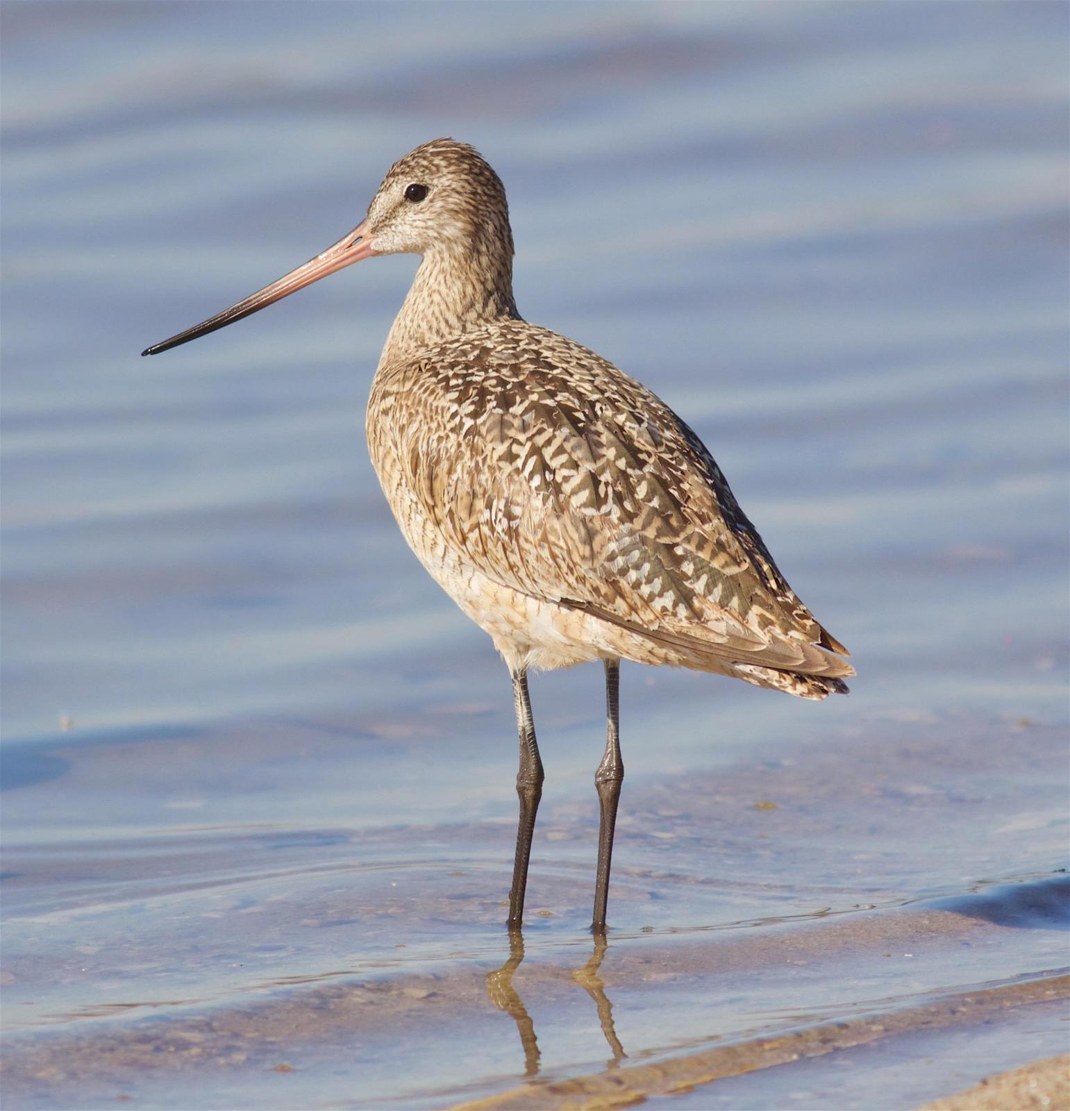 Marbled Godwit Photo by Kathryn Keith