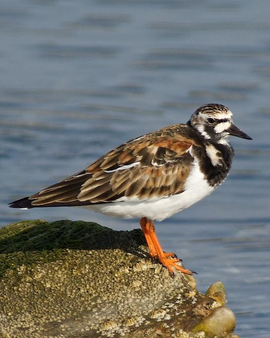 Ruddy Turnstone Photo by Gerald Hoekstra