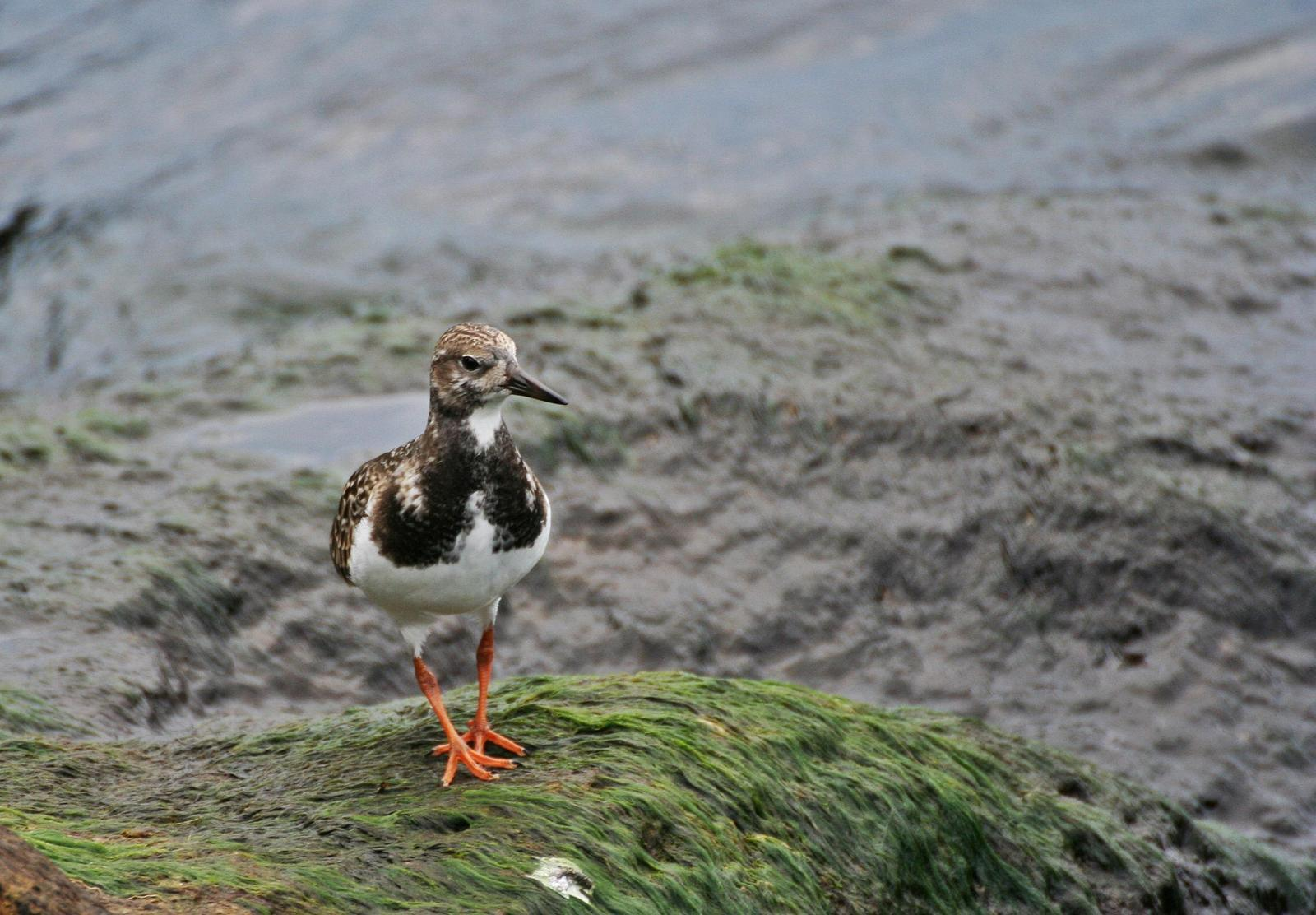 Ruddy Turnstone Photo by Andrew Theus