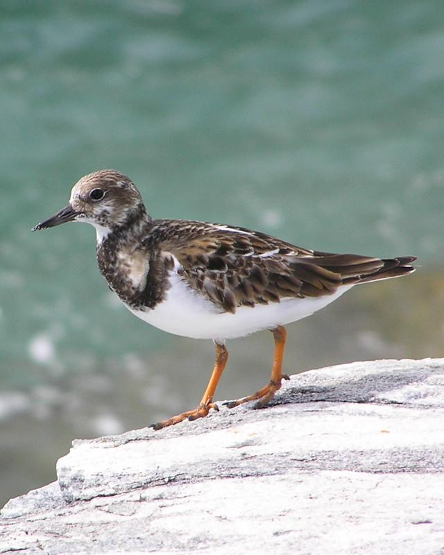 Ruddy Turnstone Photo by Natalie Raeber