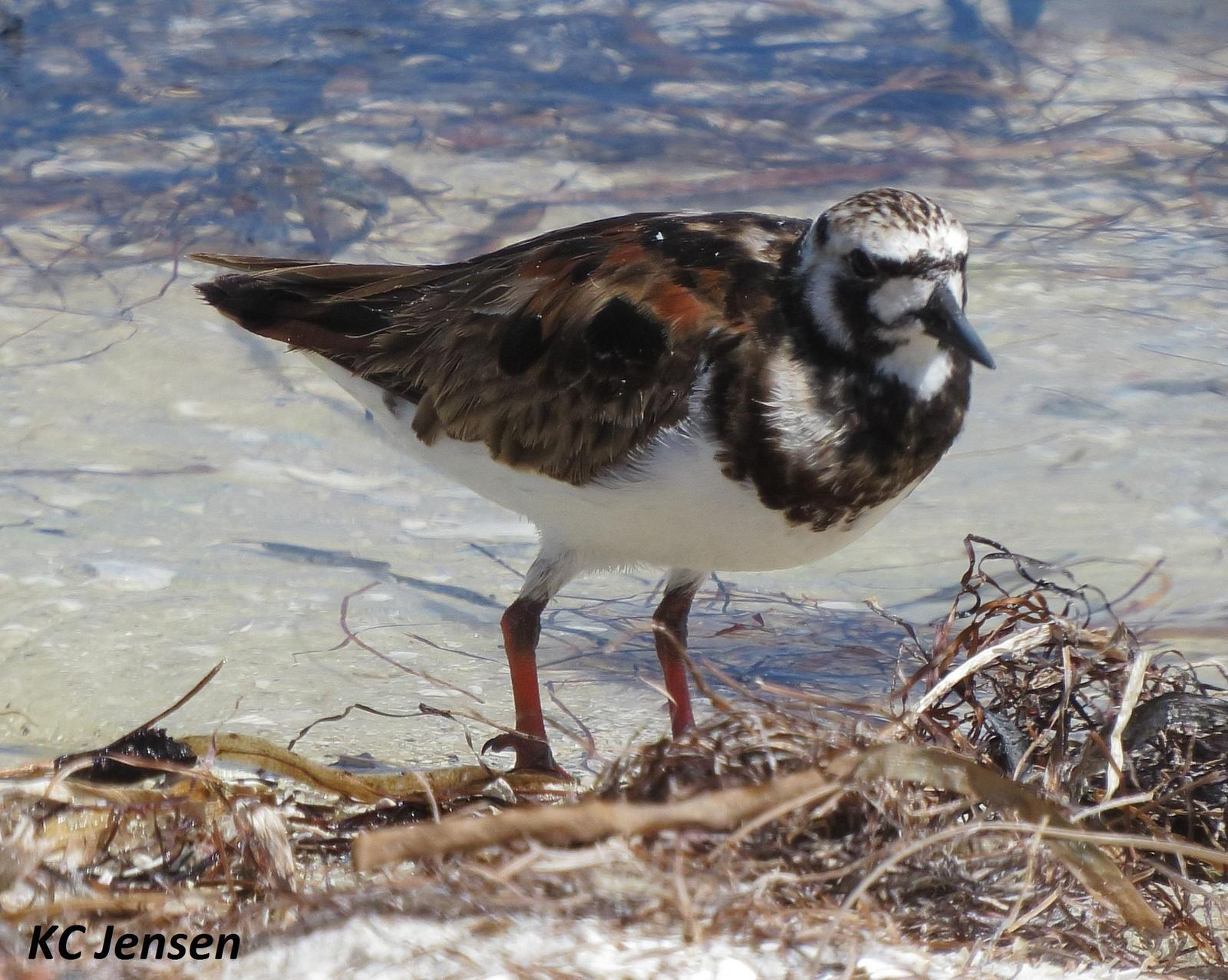 Ruddy Turnstone Photo by Kent Jensen