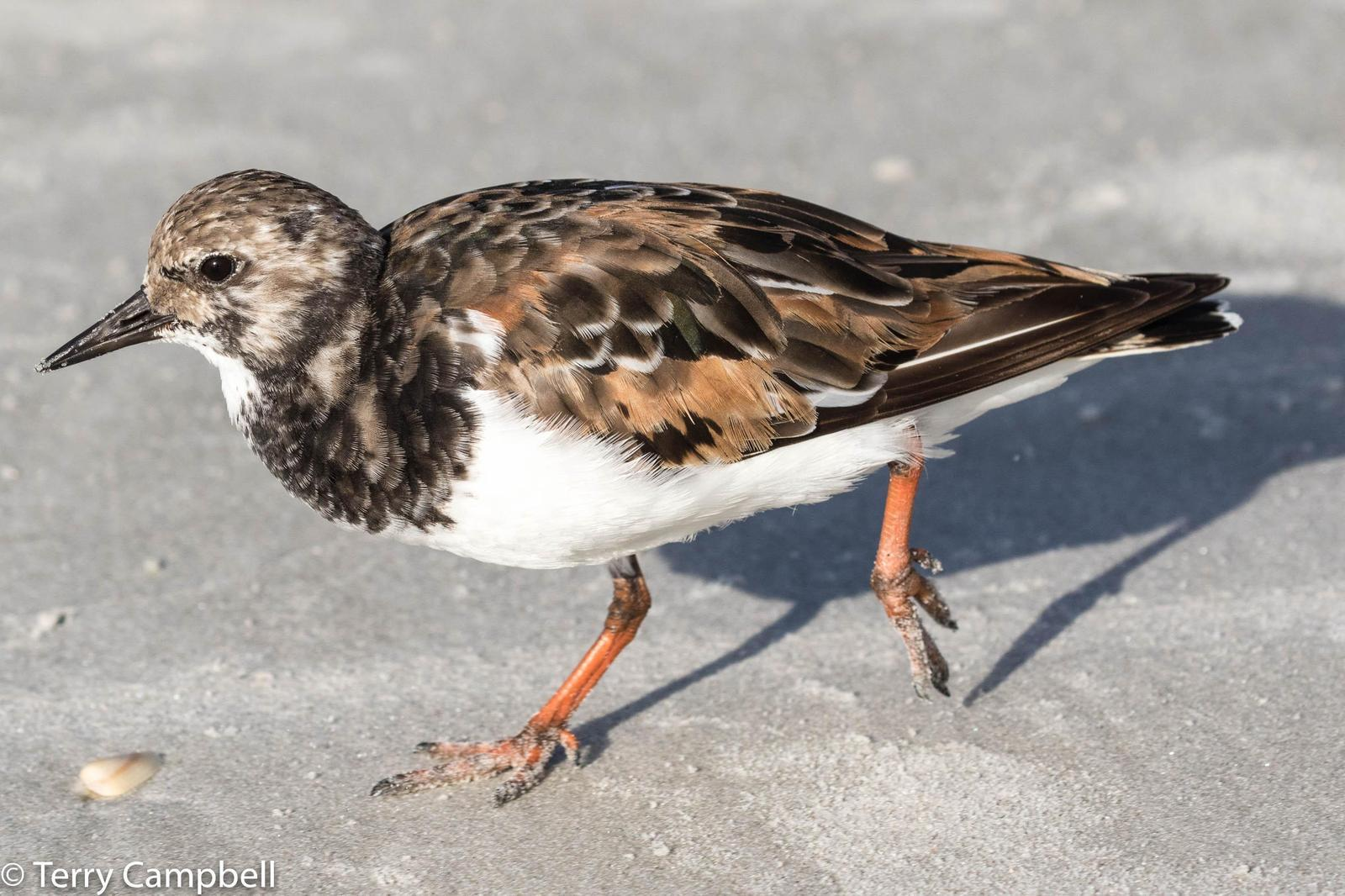Ruddy Turnstone Photo by Terry Campbell
