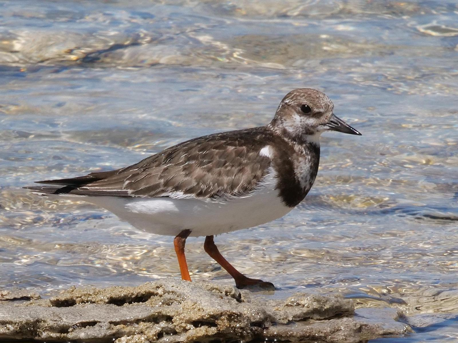 Ruddy Turnstone Photo by Peter Lowe