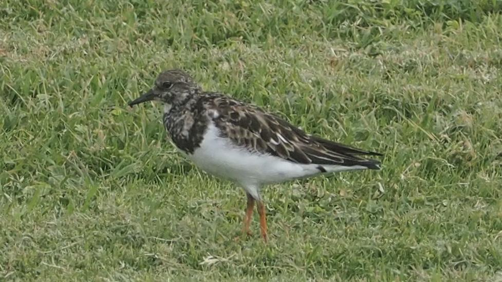 Ruddy Turnstone Photo by Davy Tolman