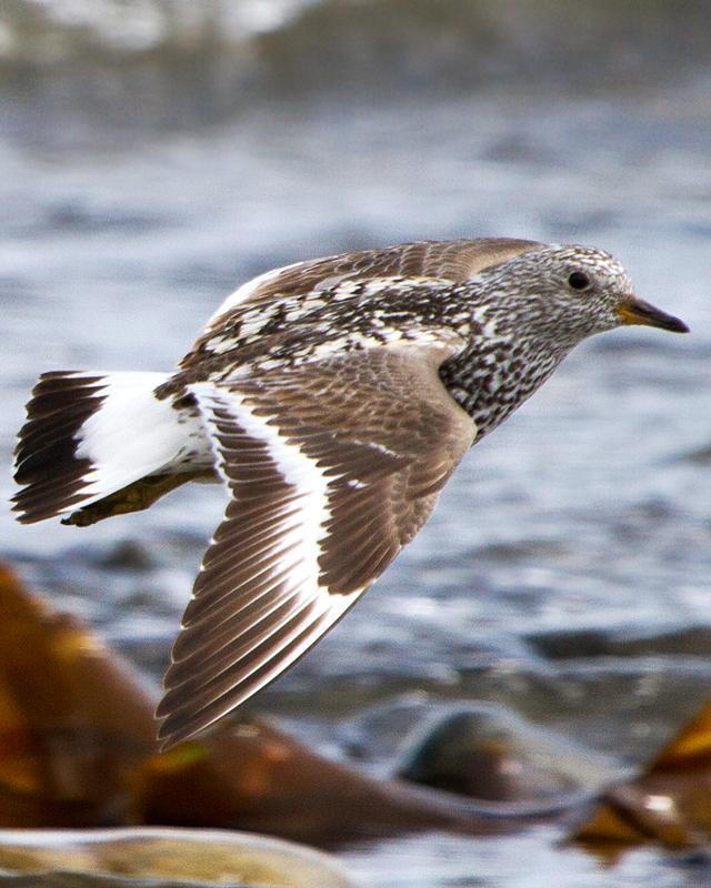 Surfbird Photo by Ashley Bradford