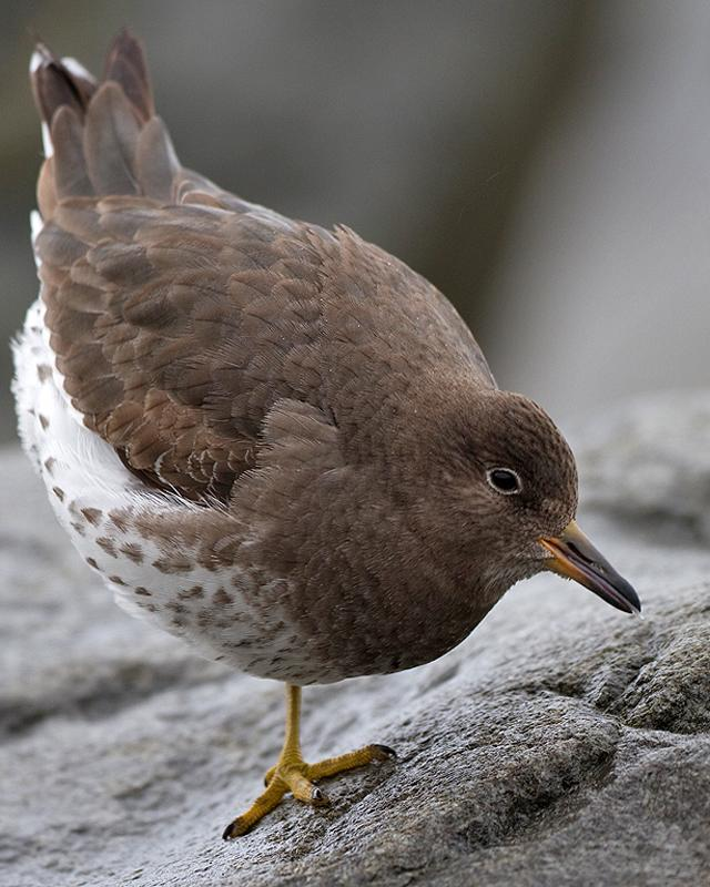 Surfbird Photo by Ryan Shaw