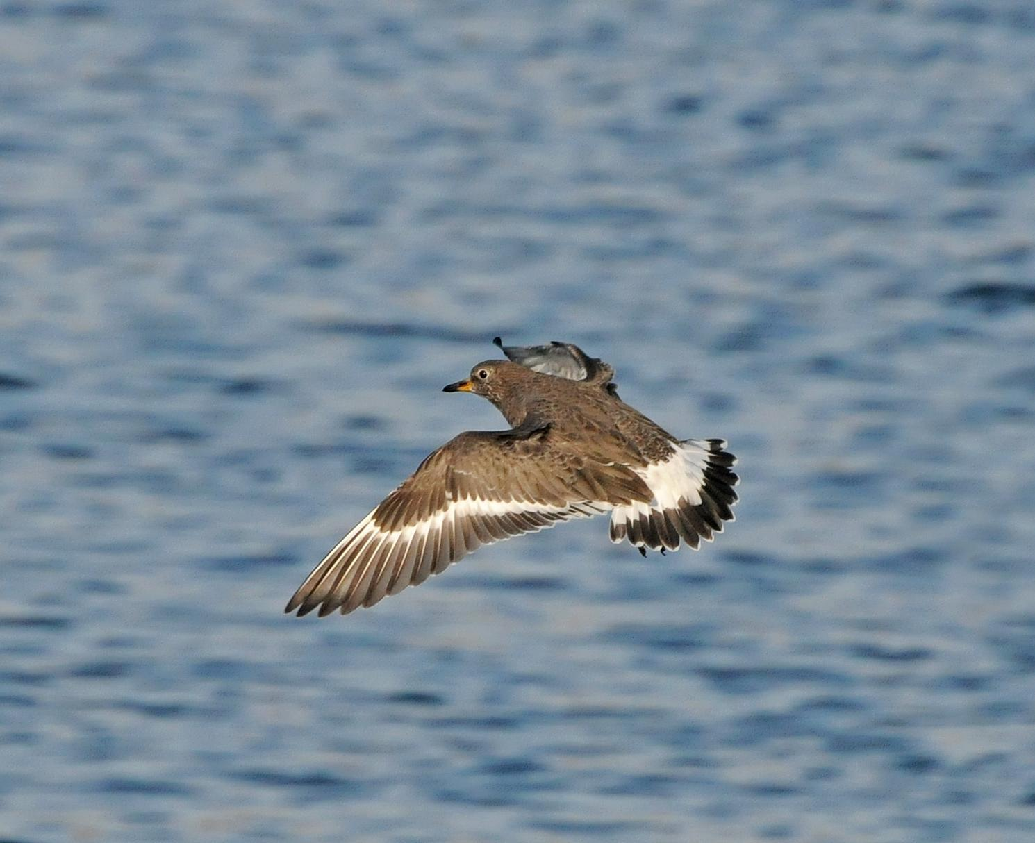 Surfbird Photo by Steven Mlodinow