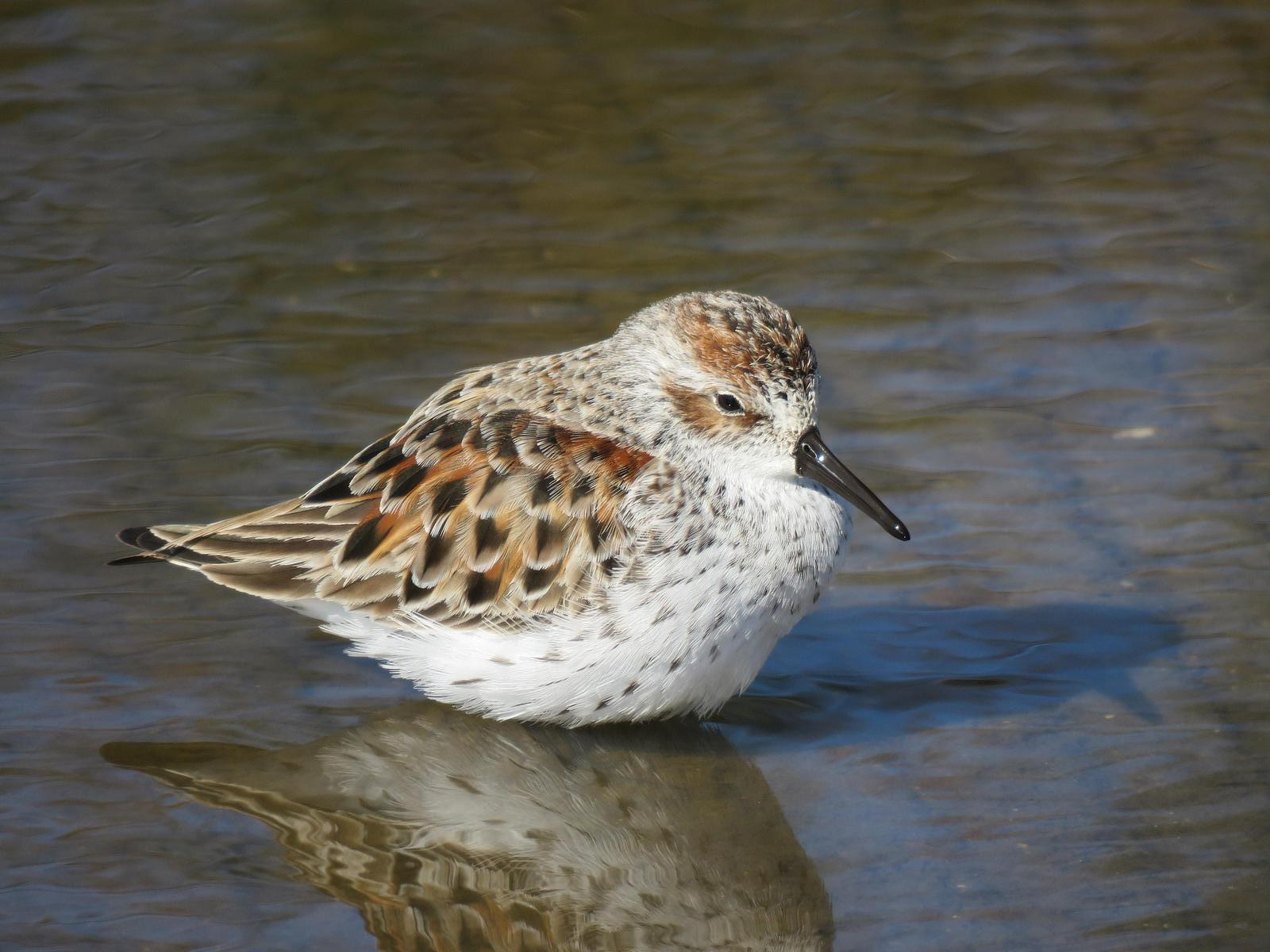 Western Sandpiper Photo by Don Glasco
