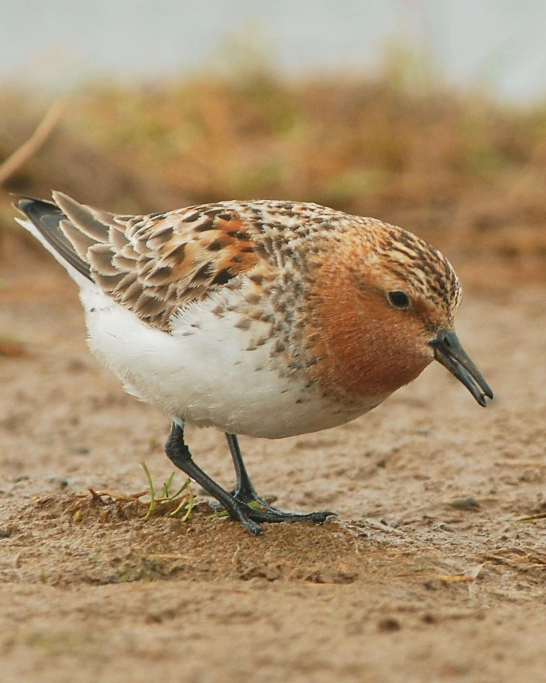 Red-necked Stint Photo by David Hollie