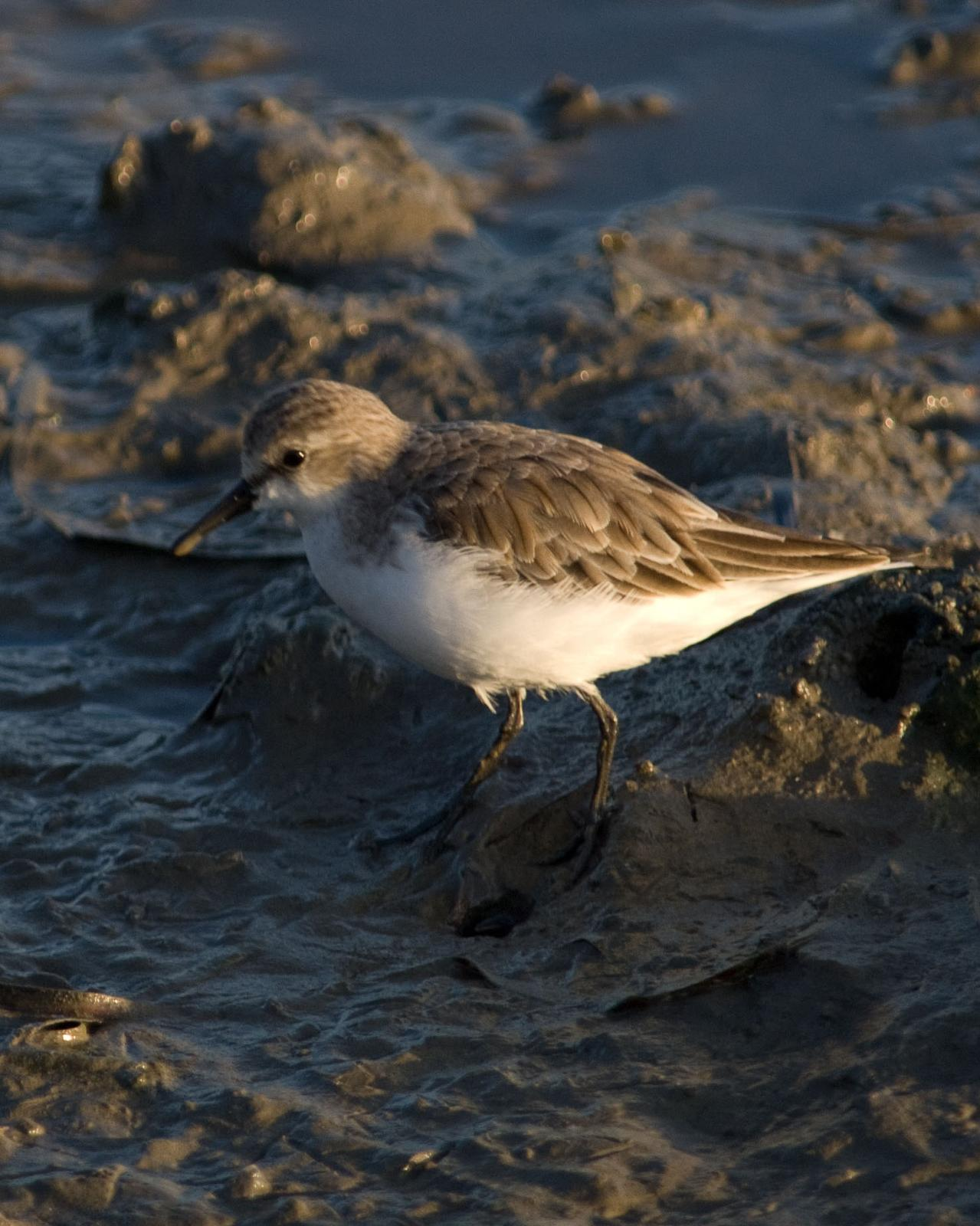 Red-necked Stint Photo by Steve Percival