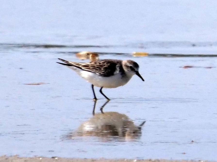 Red-necked Stint Photo by Peter Lowe
