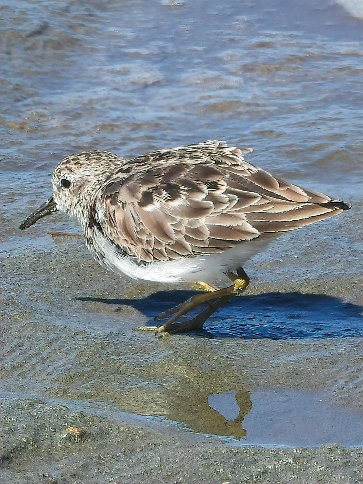 Least Sandpiper Photo by Dan Tallman