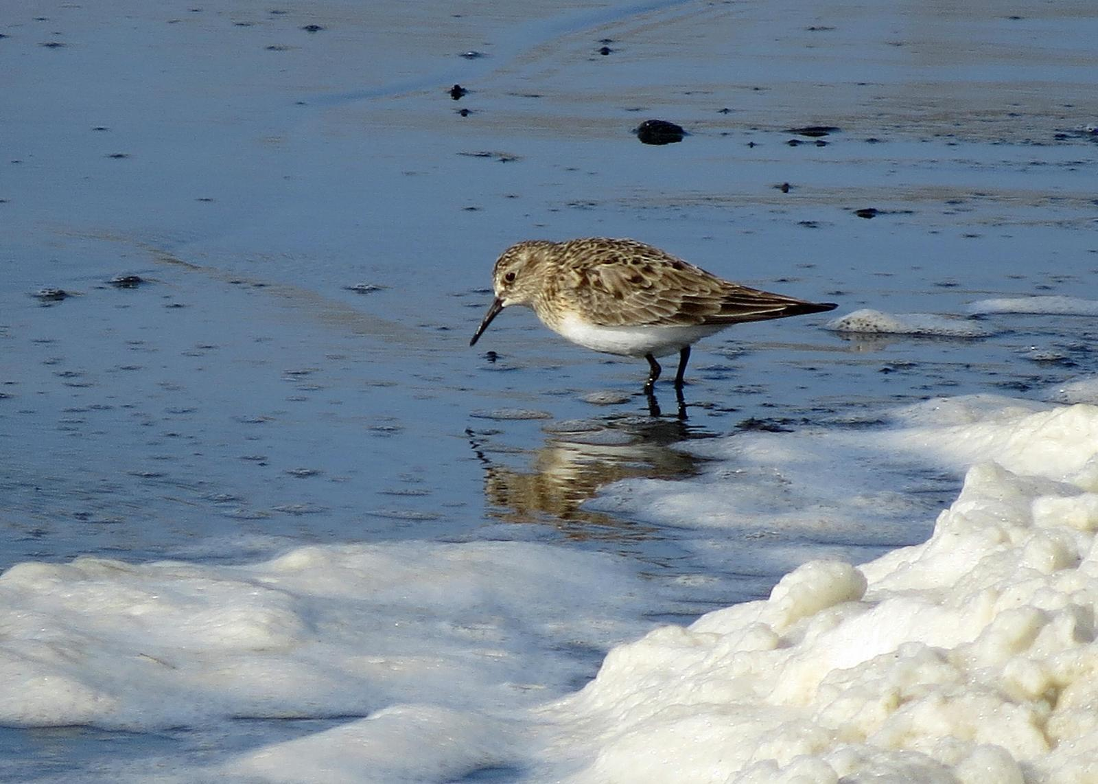Baird's Sandpiper Photo by Kelly Preheim