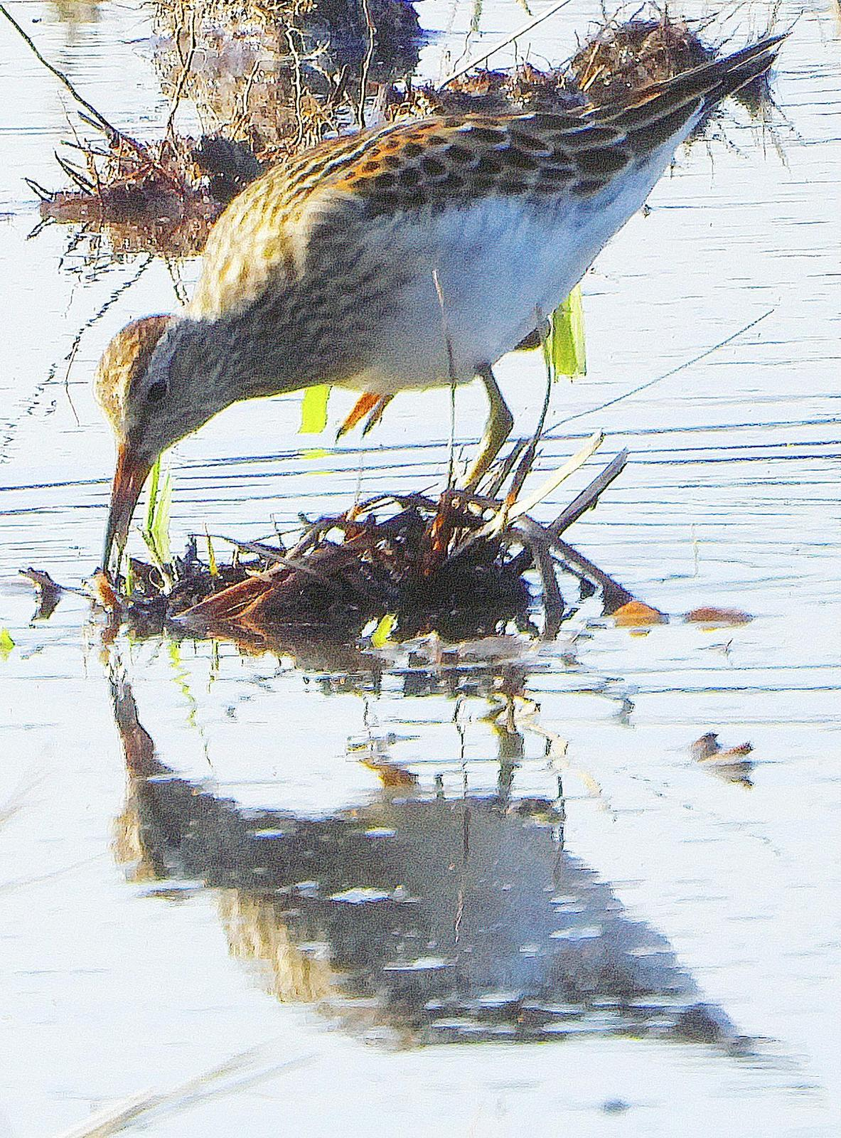 Pectoral Sandpiper Photo by Dan Tallman