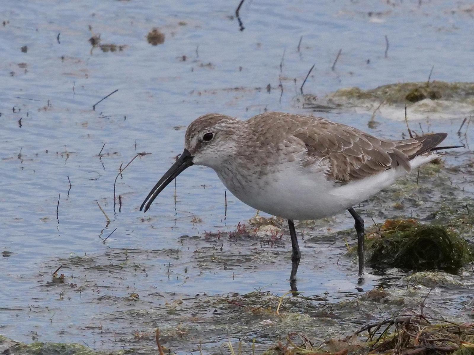 Curlew Sandpiper Photo by Peter Lowe