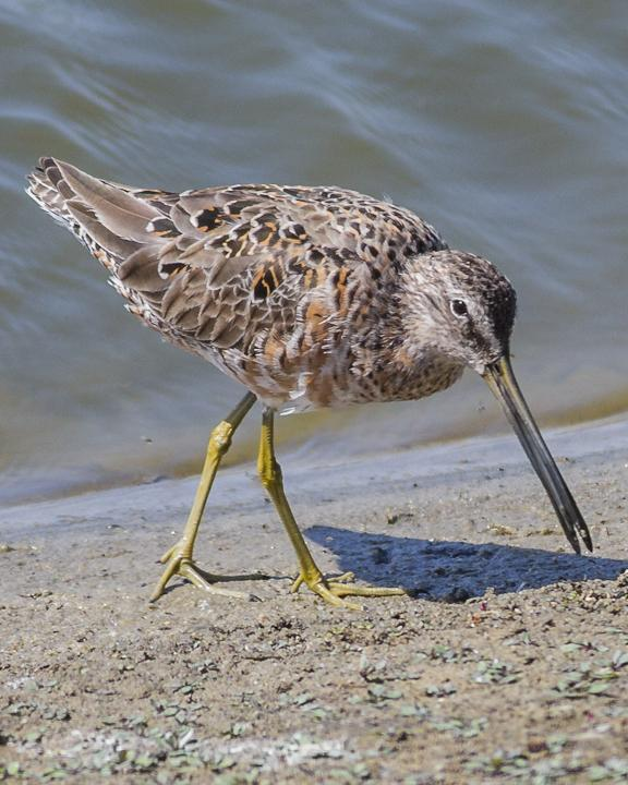 Long-billed Dowitcher Photo by Anthony Gliozzo