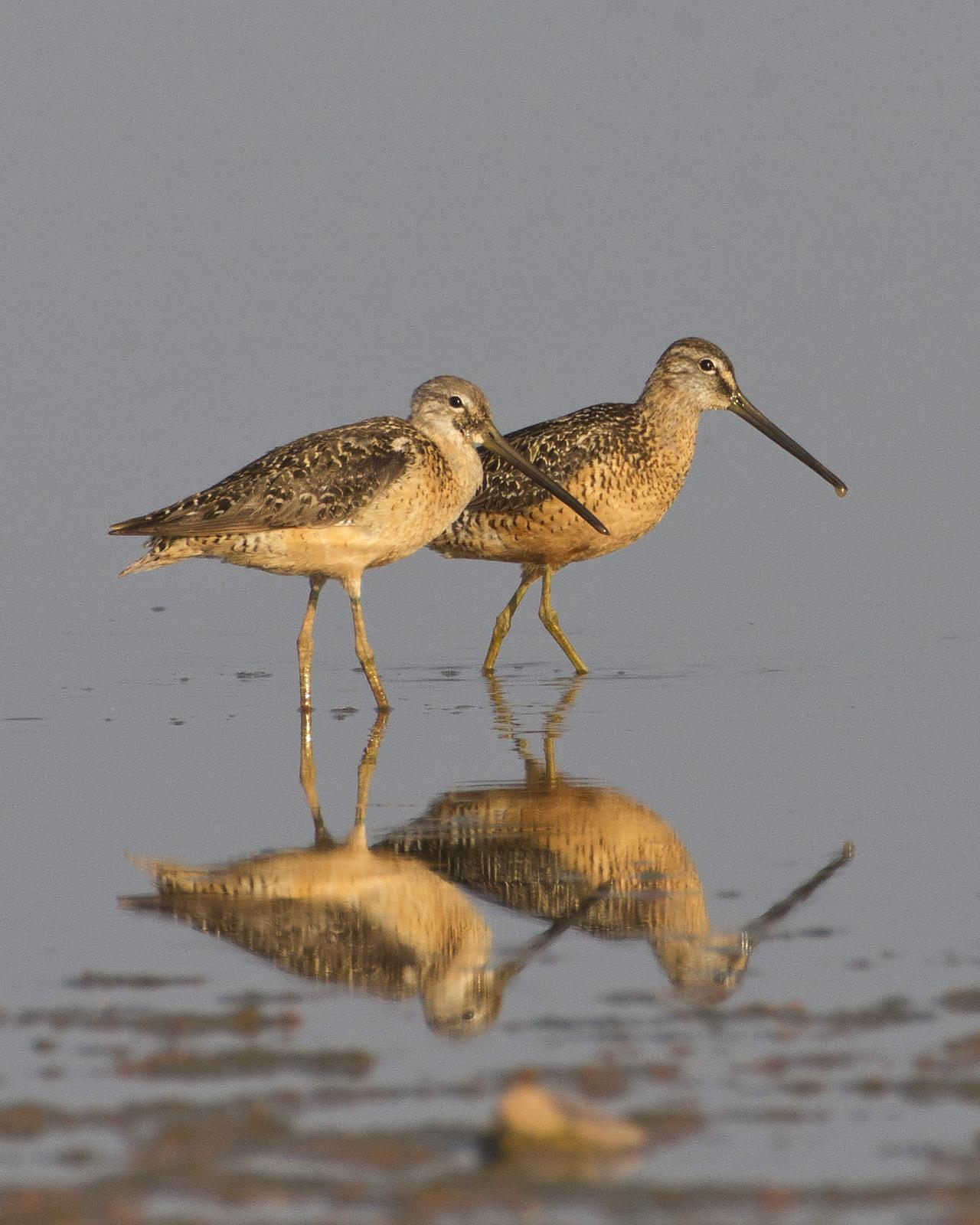 Long-billed Dowitcher Photo by Bill Adams