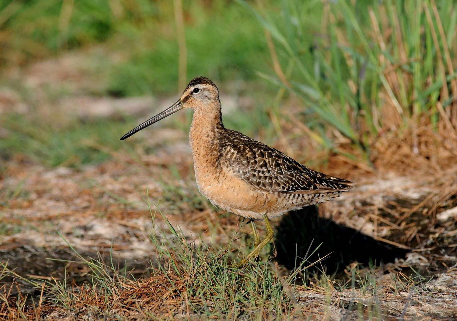 Long-billed Dowitcher Photo by Steven Mlodinow