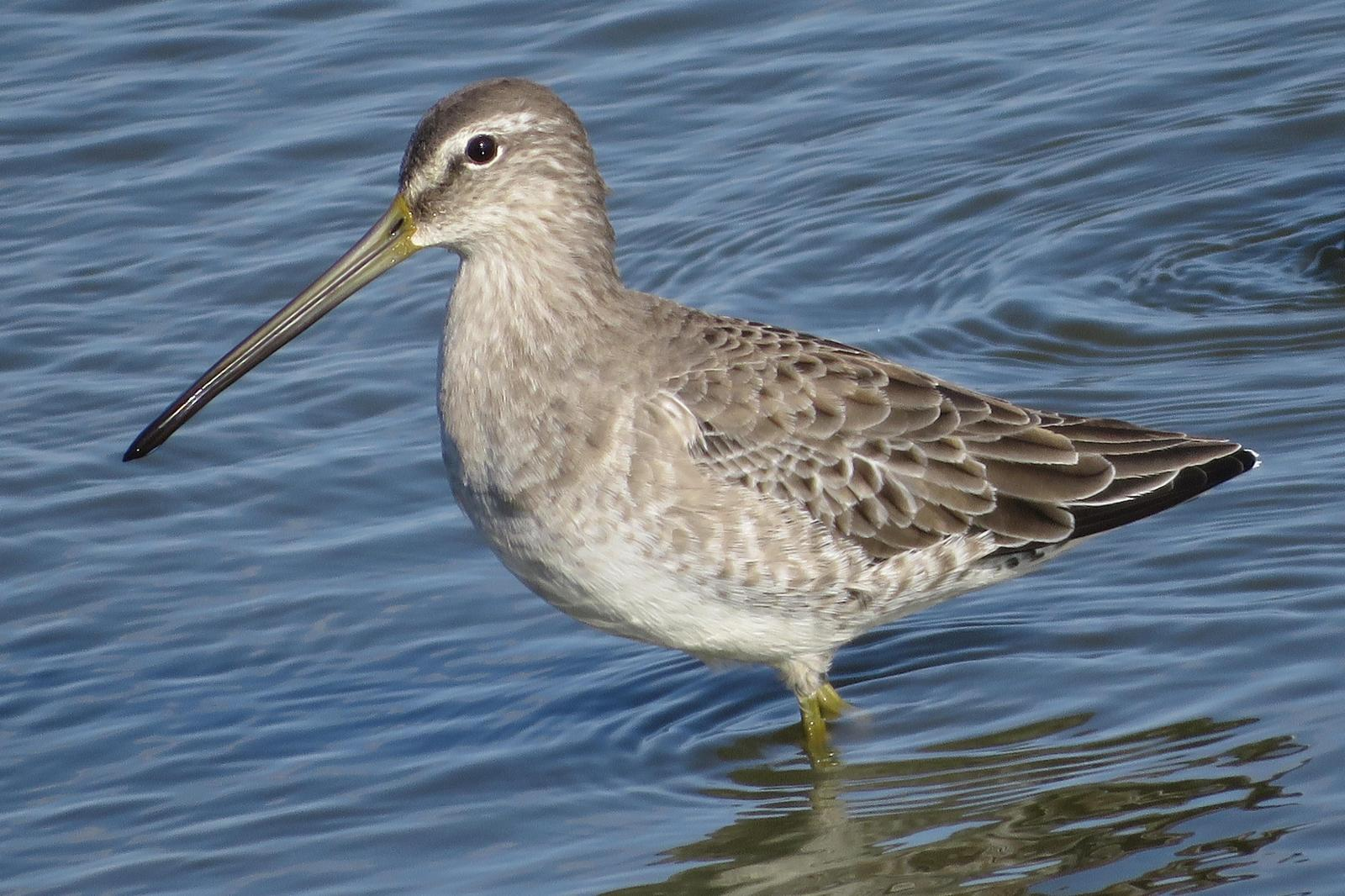 Long-billed Dowitcher Photo by Bob Neugebauer