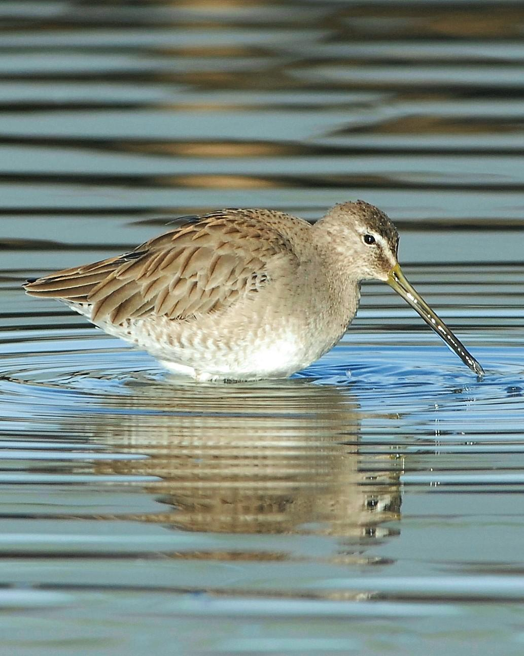 Long-billed Dowitcher Photo by David Hollie
