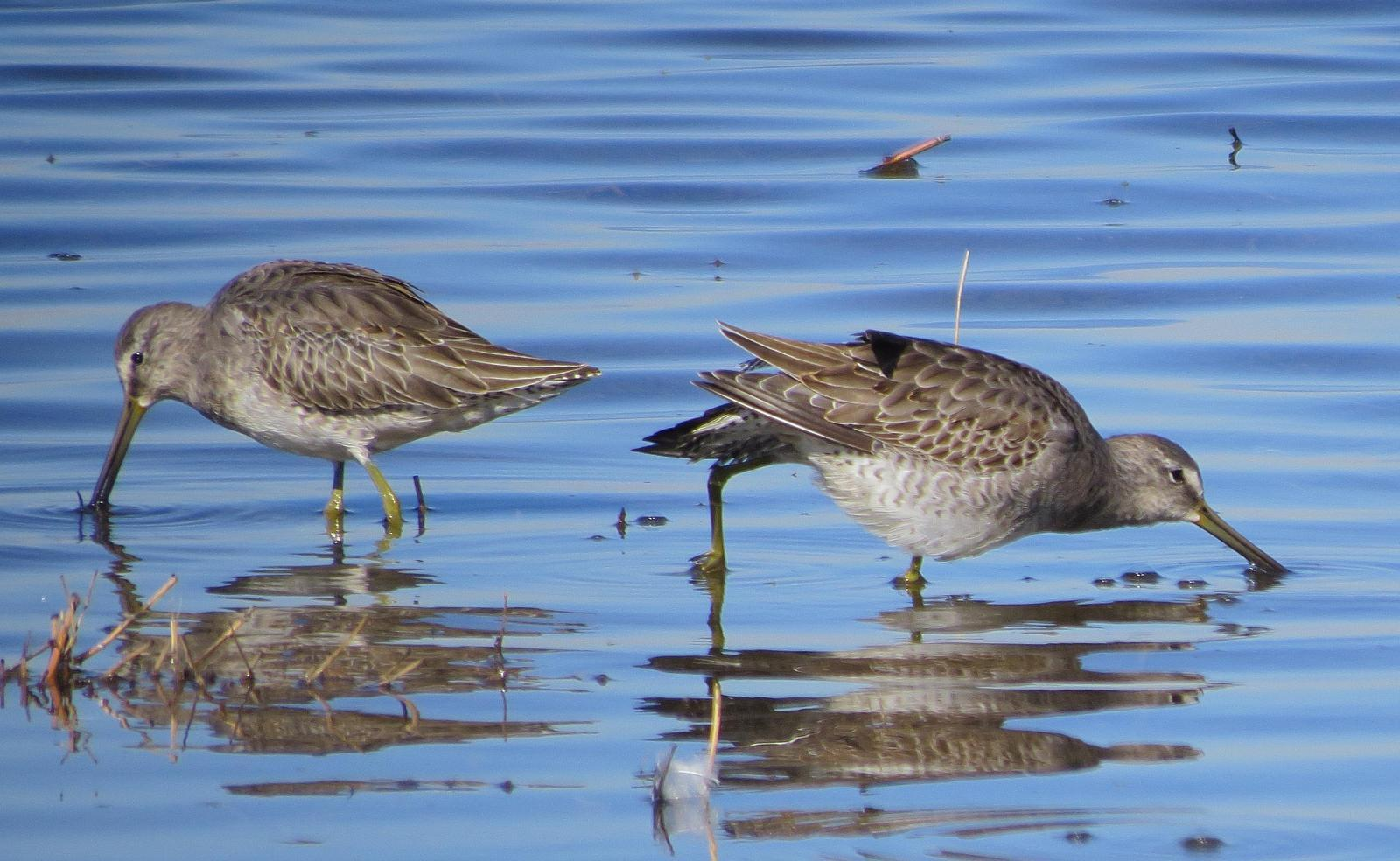 Long-billed Dowitcher Photo by Kent Jensen