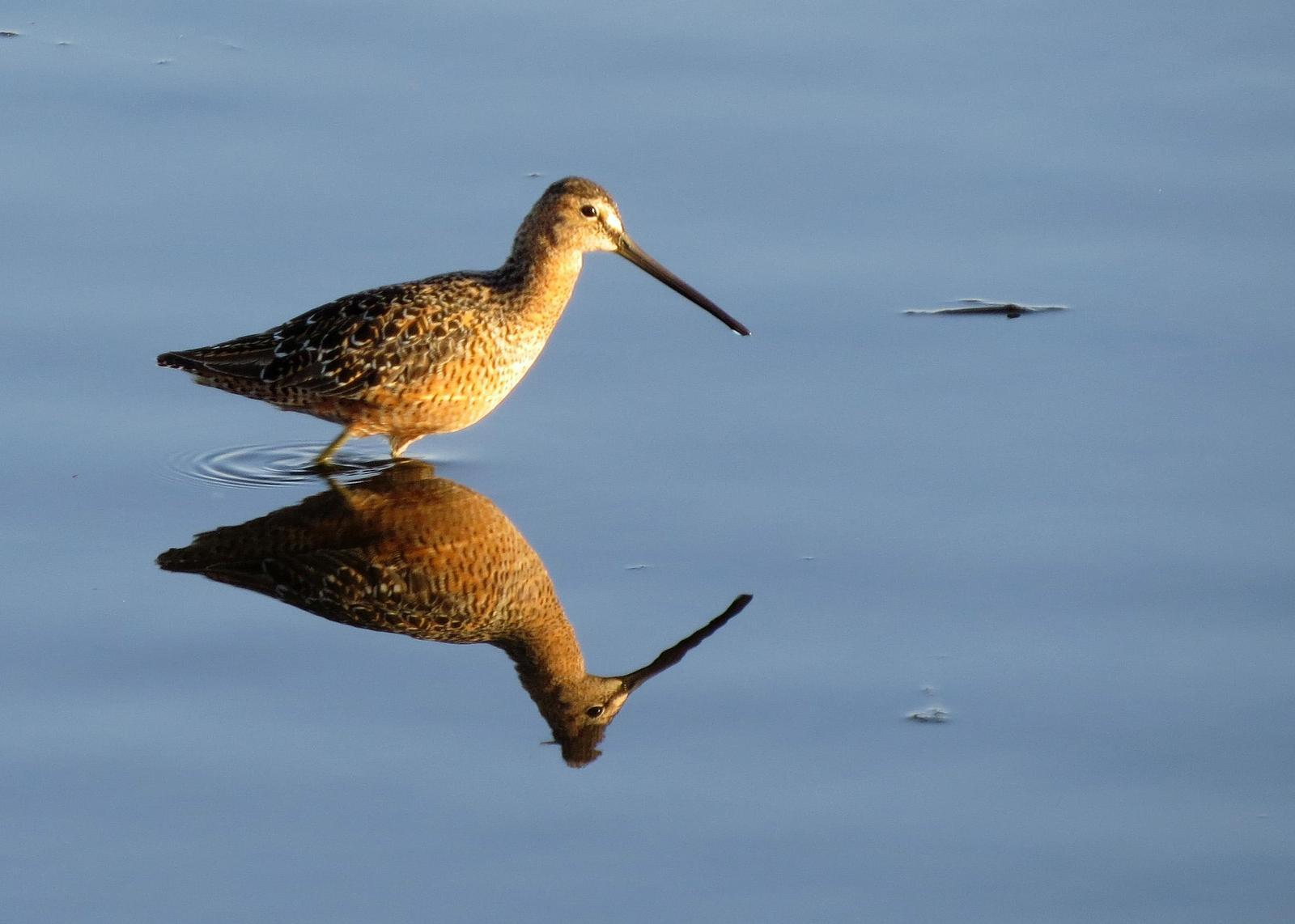 Long-billed Dowitcher Photo by Kelly Preheim