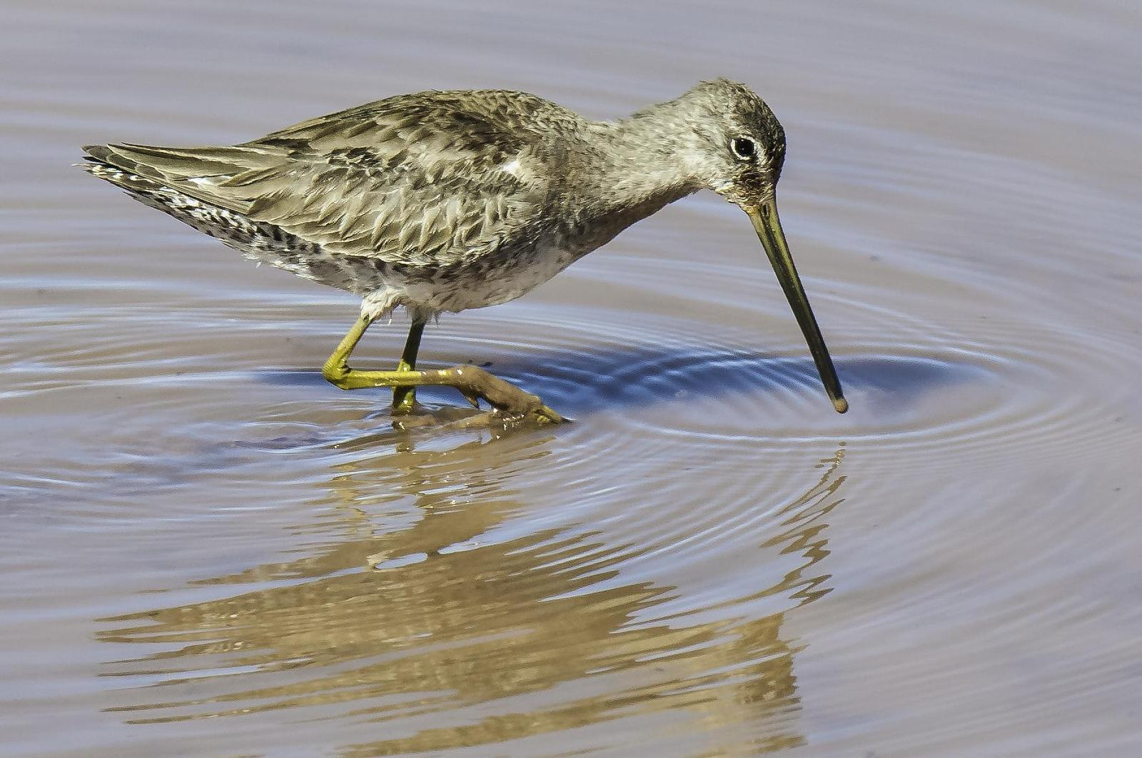 Long-billed Dowitcher Photo by Mason Rose