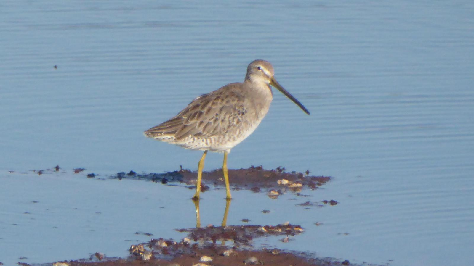 Long-billed Dowitcher Photo by Daliel Leite