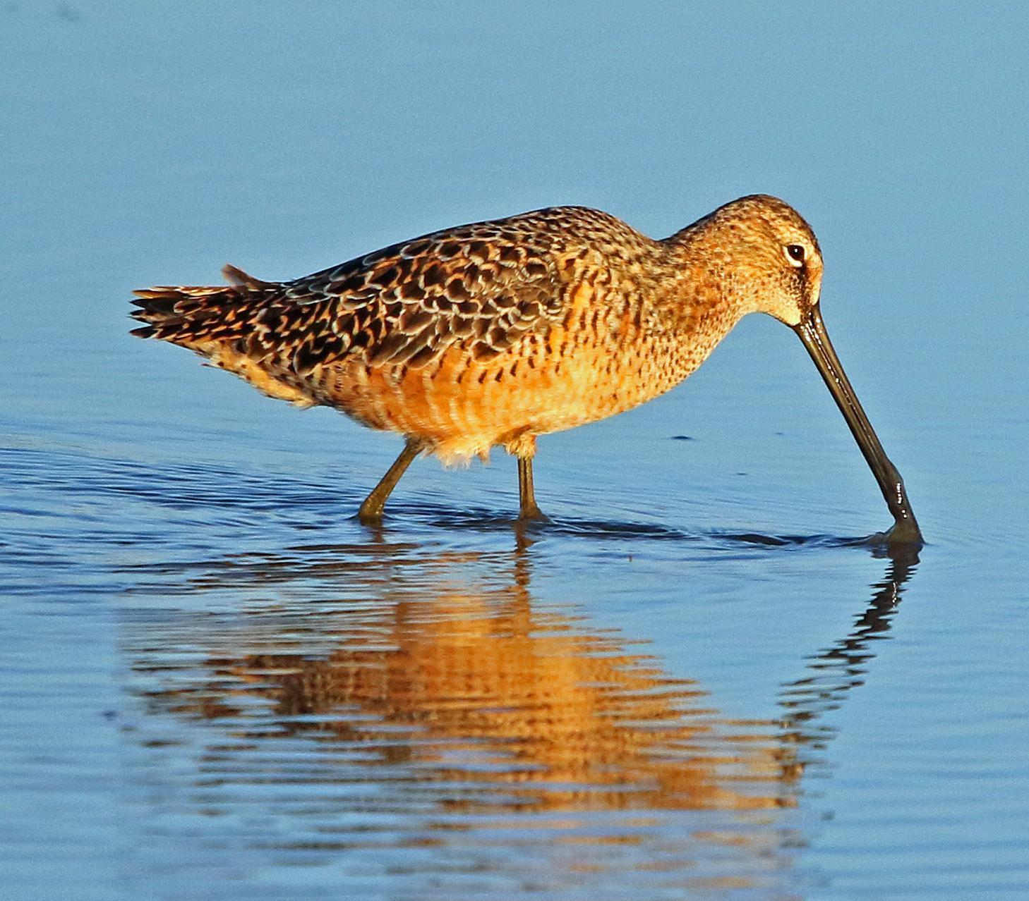 Long-billed Dowitcher Photo by Tom Gannon