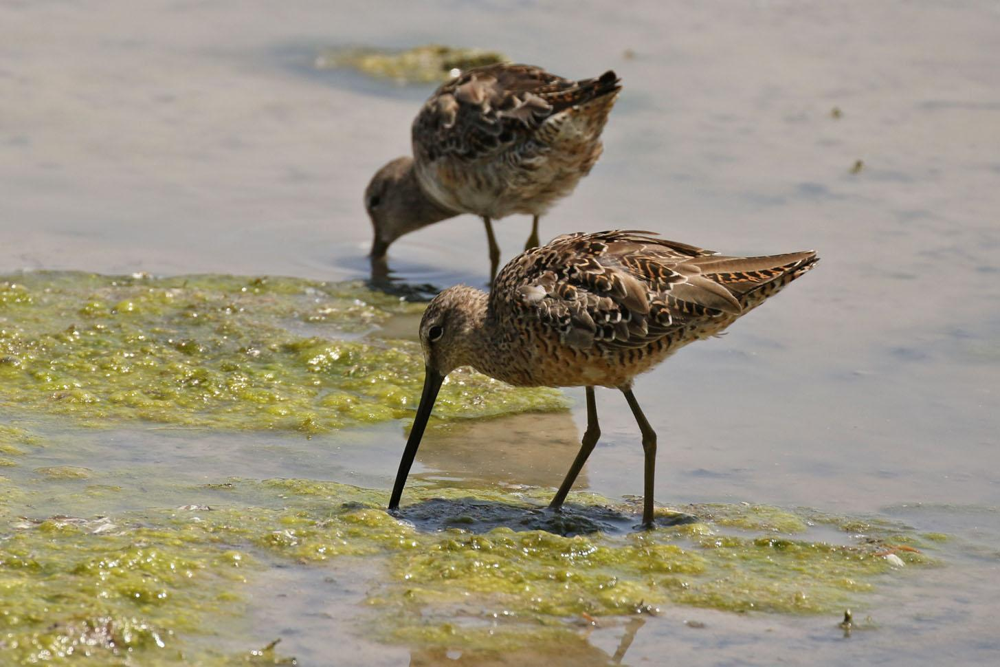Long-billed Dowitcher Photo by Kristy Baker