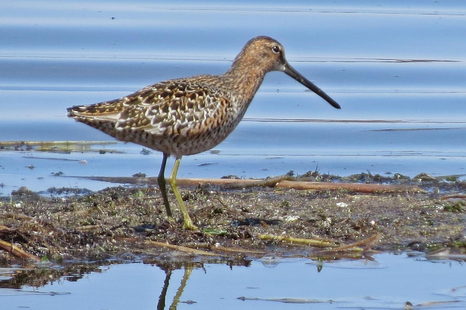 Long-billed Dowitcher Photo by Enid Bachman