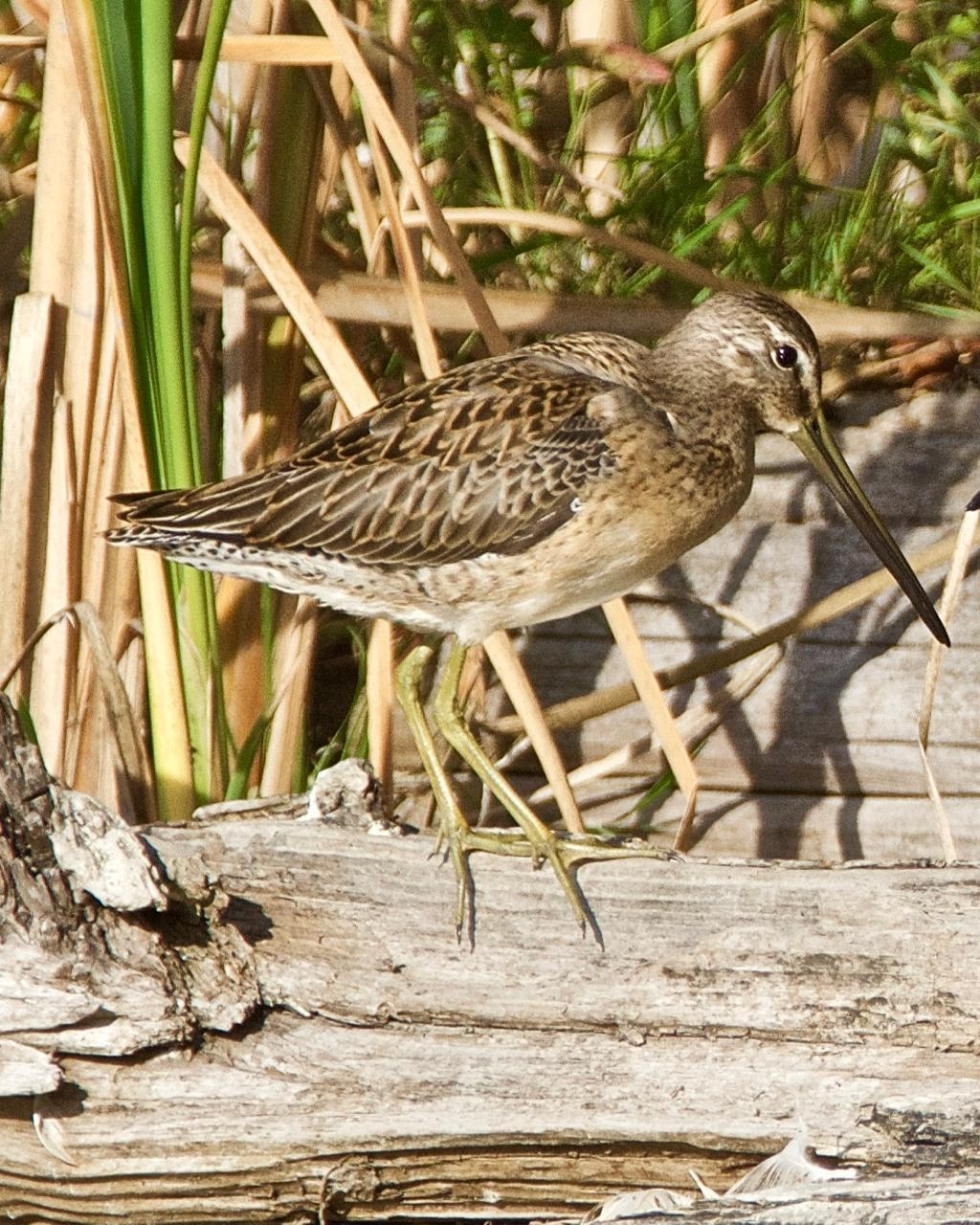 Long-billed Dowitcher Photo by Brian Avent