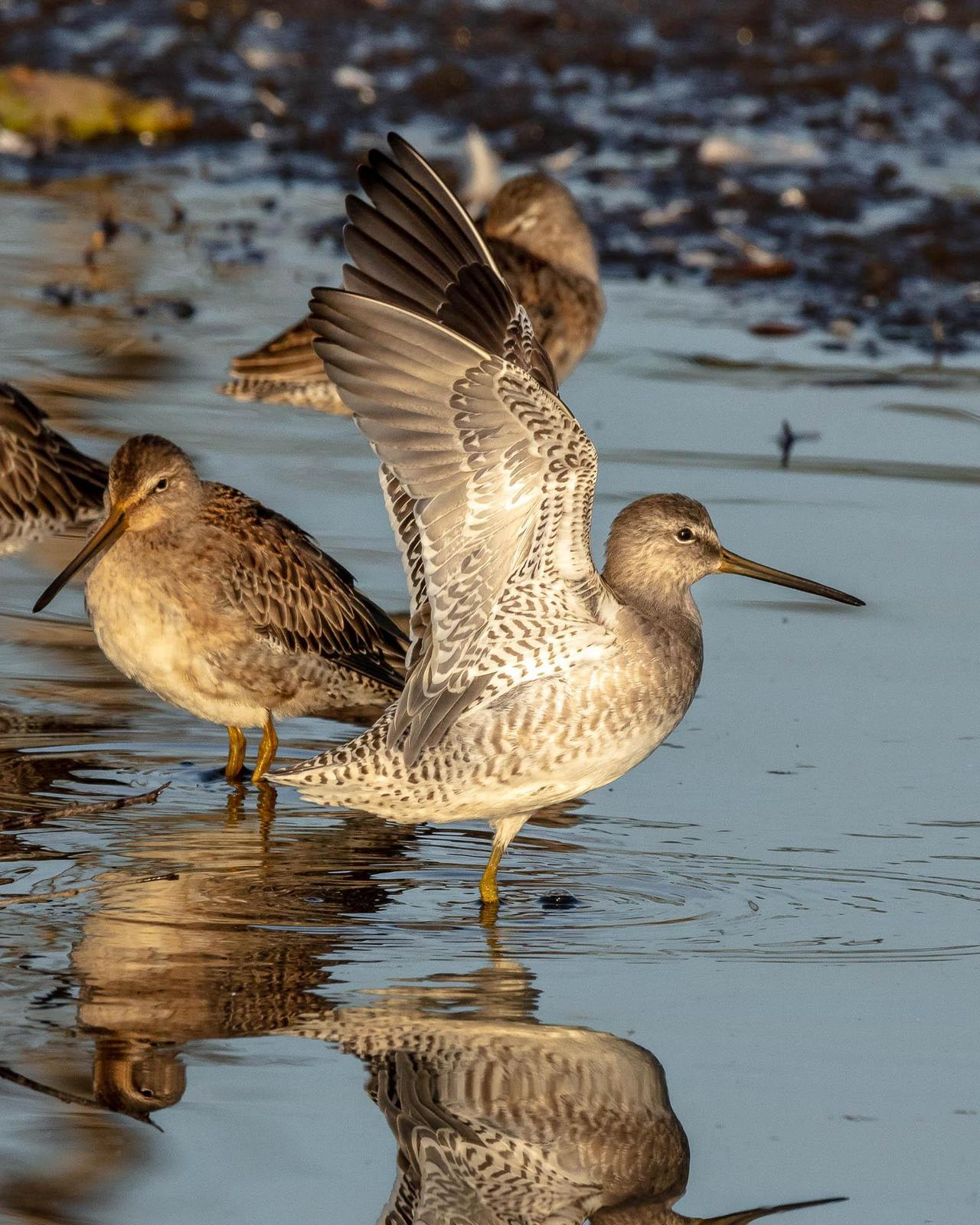 Long-billed Dowitcher Photo by Denis Rivard