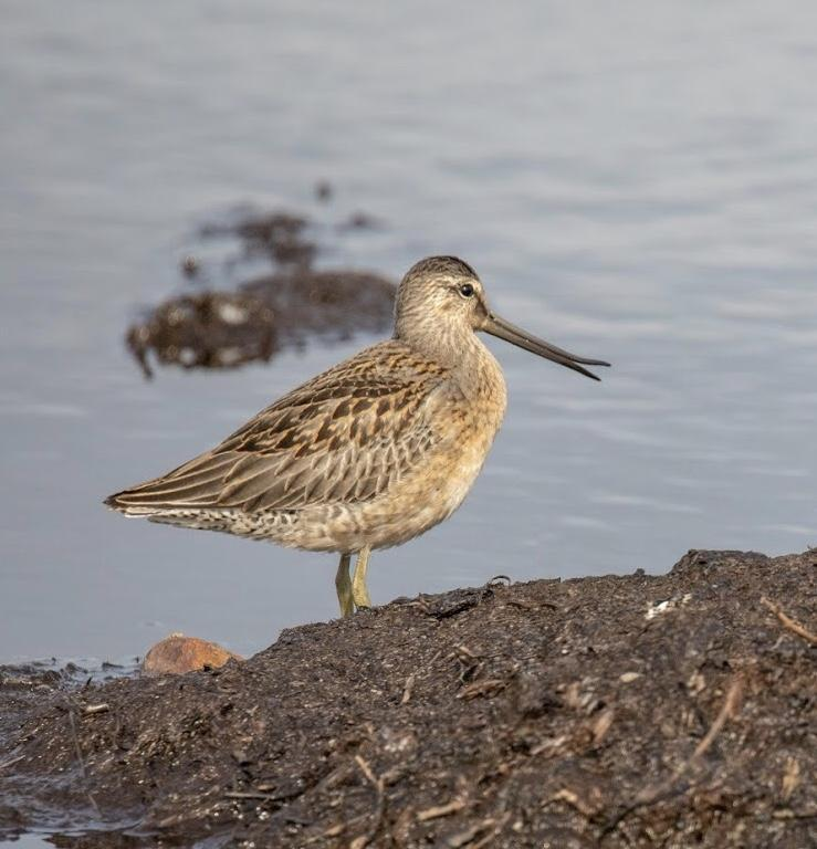 Long-billed Dowitcher Photo by Kate Persons