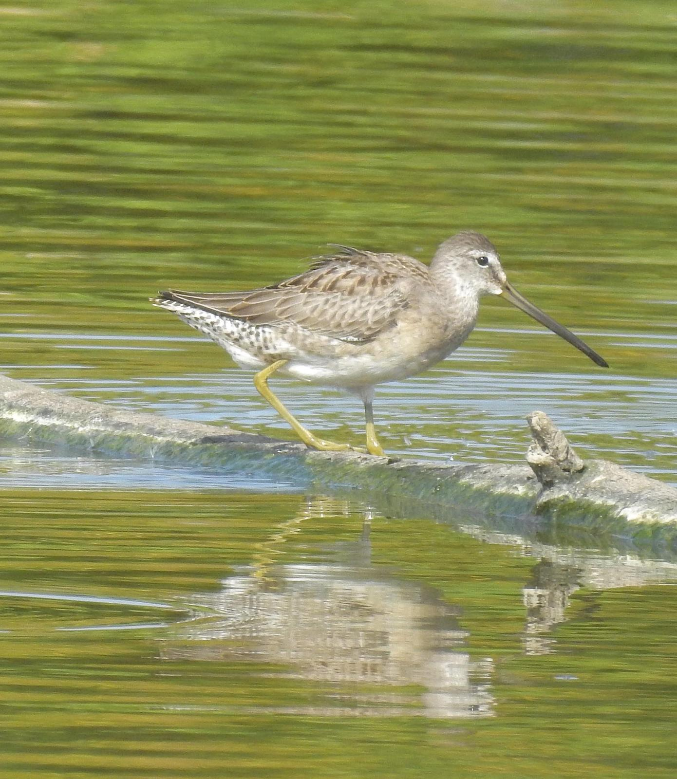 Long-billed Dowitcher Photo by John Licharson