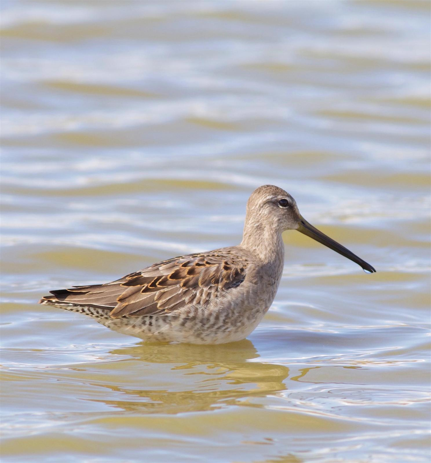Long-billed Dowitcher Photo by Kathryn Keith