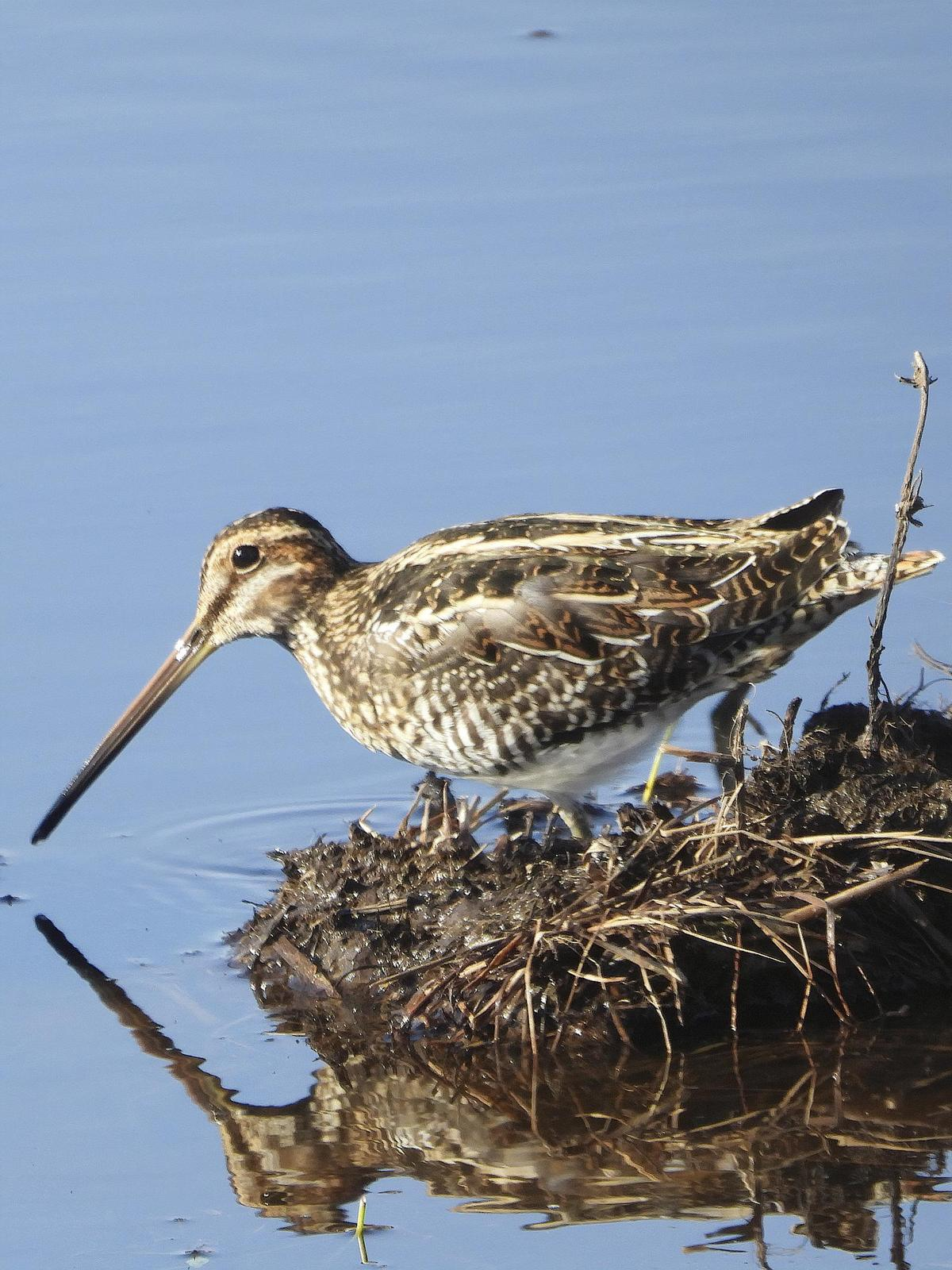 Wilson's Snipe Photo by Dan Tallman