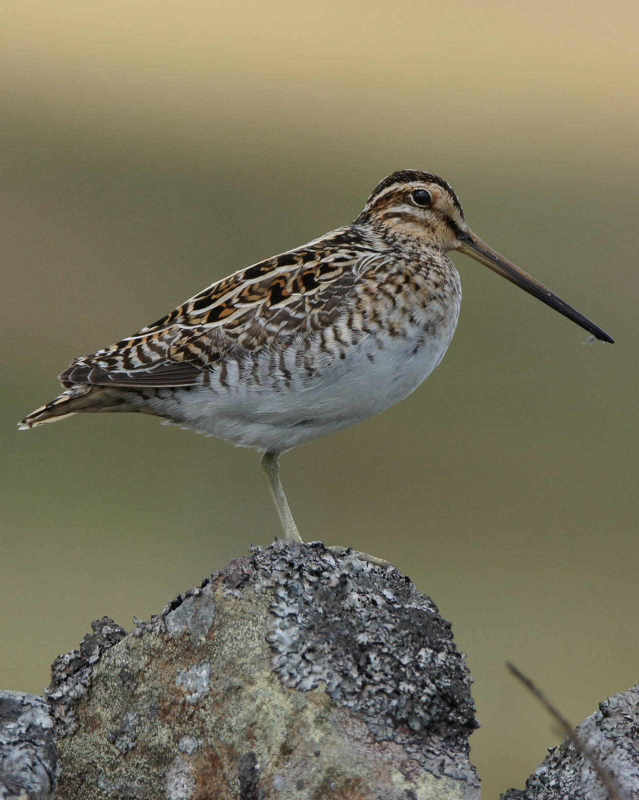 Common Snipe Photo by Steve Percival