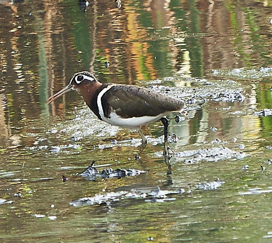 Greater Painted-Snipe Photo by Steven Cheong