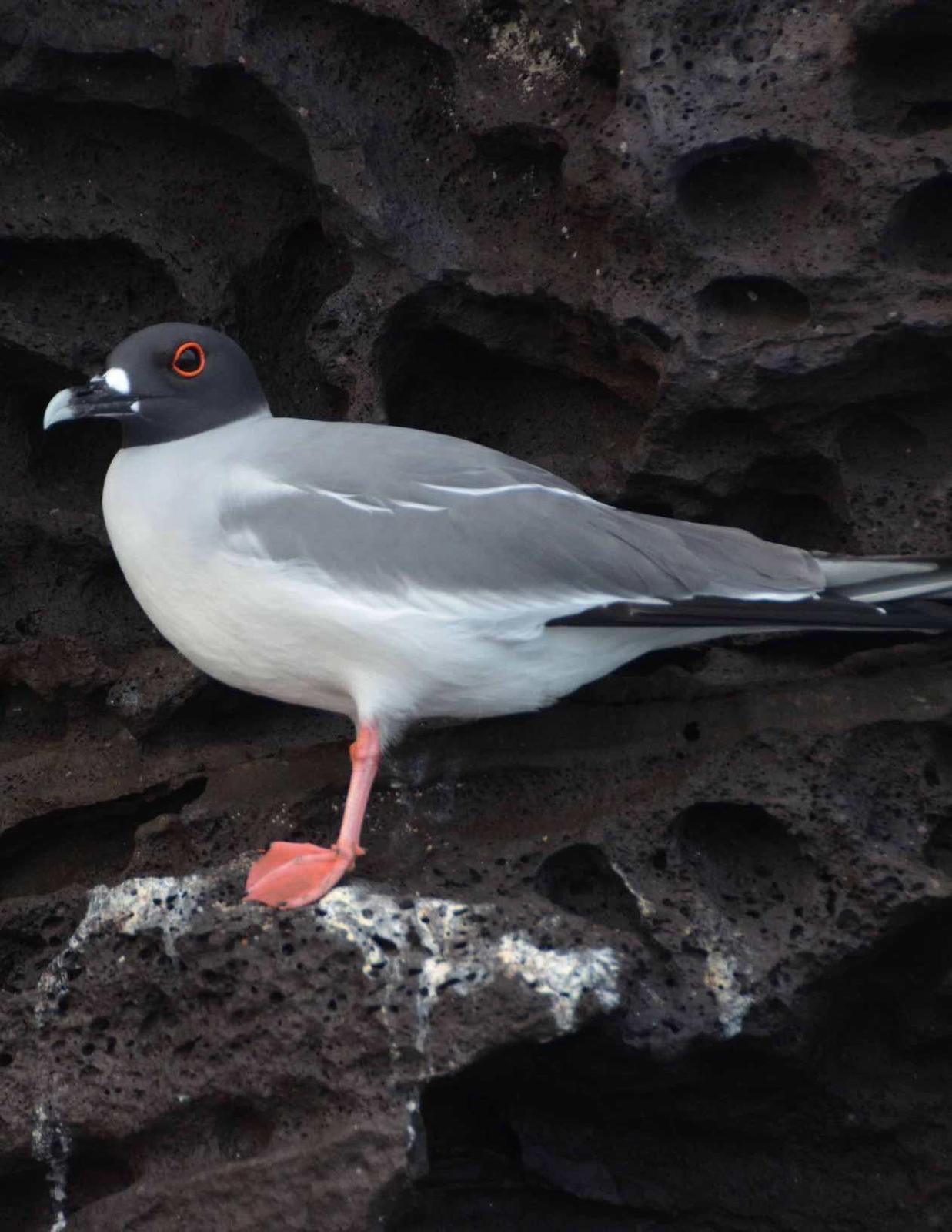 Swallow-tailed Gull Photo by Andrew Pittman